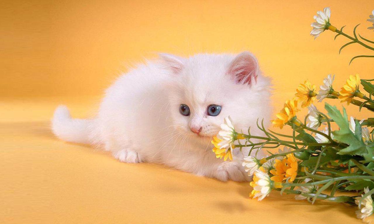 Cute Kittens Wallpaper For Iphone White Kitten Flowers Wallpaper Hd Wallpapers13 Com