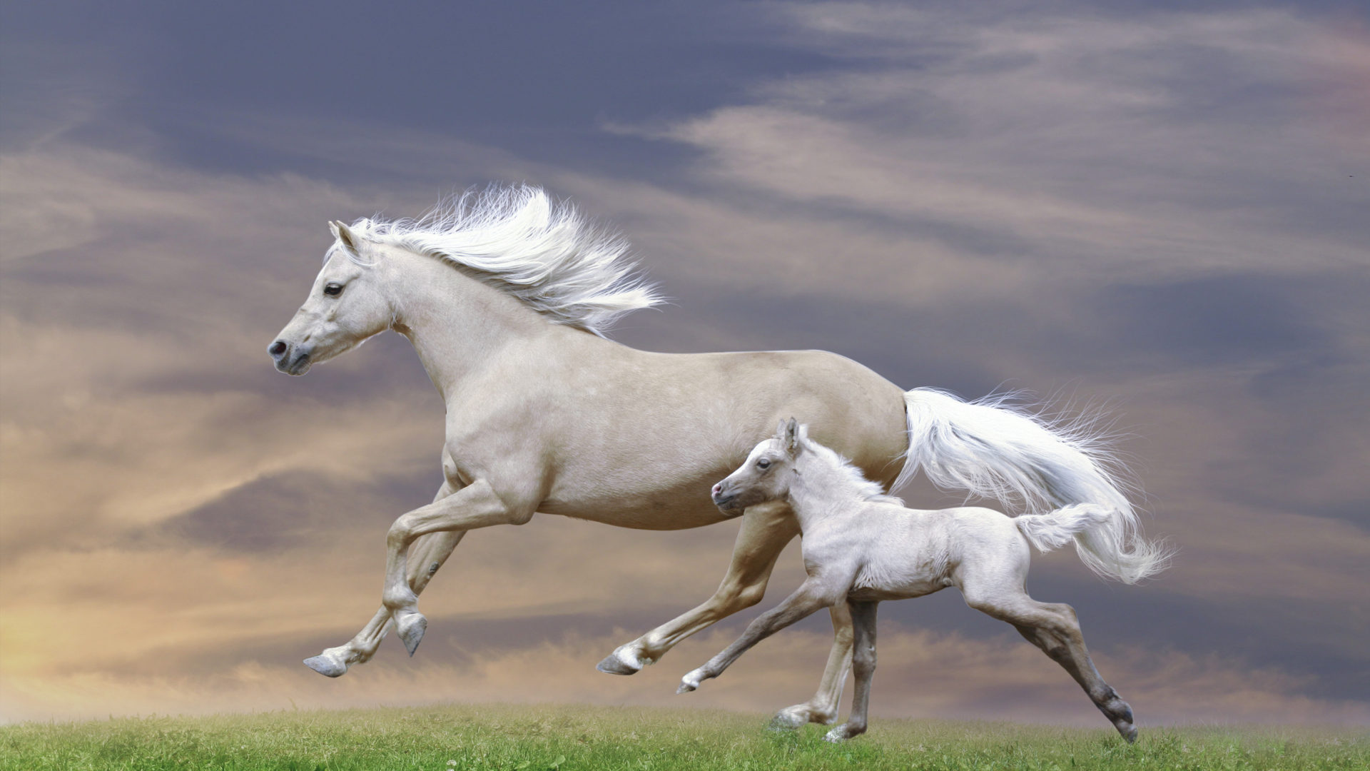 Cute Baby Horse Wallpaper White Mare And Foal Galloping Sunset Hd Wallpaper