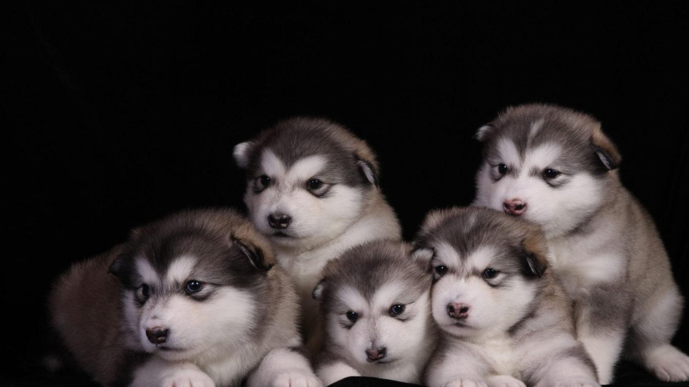 Cute Baby Princess Wallpapers Animals Dogs Alaskan Malamute Puppies Animals Dogs Alaskan