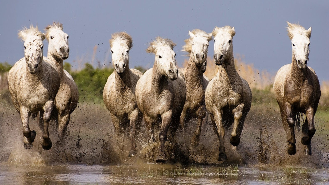 Galloping White Horses Hd Wallpapers For Laptop Widescreen Free Download