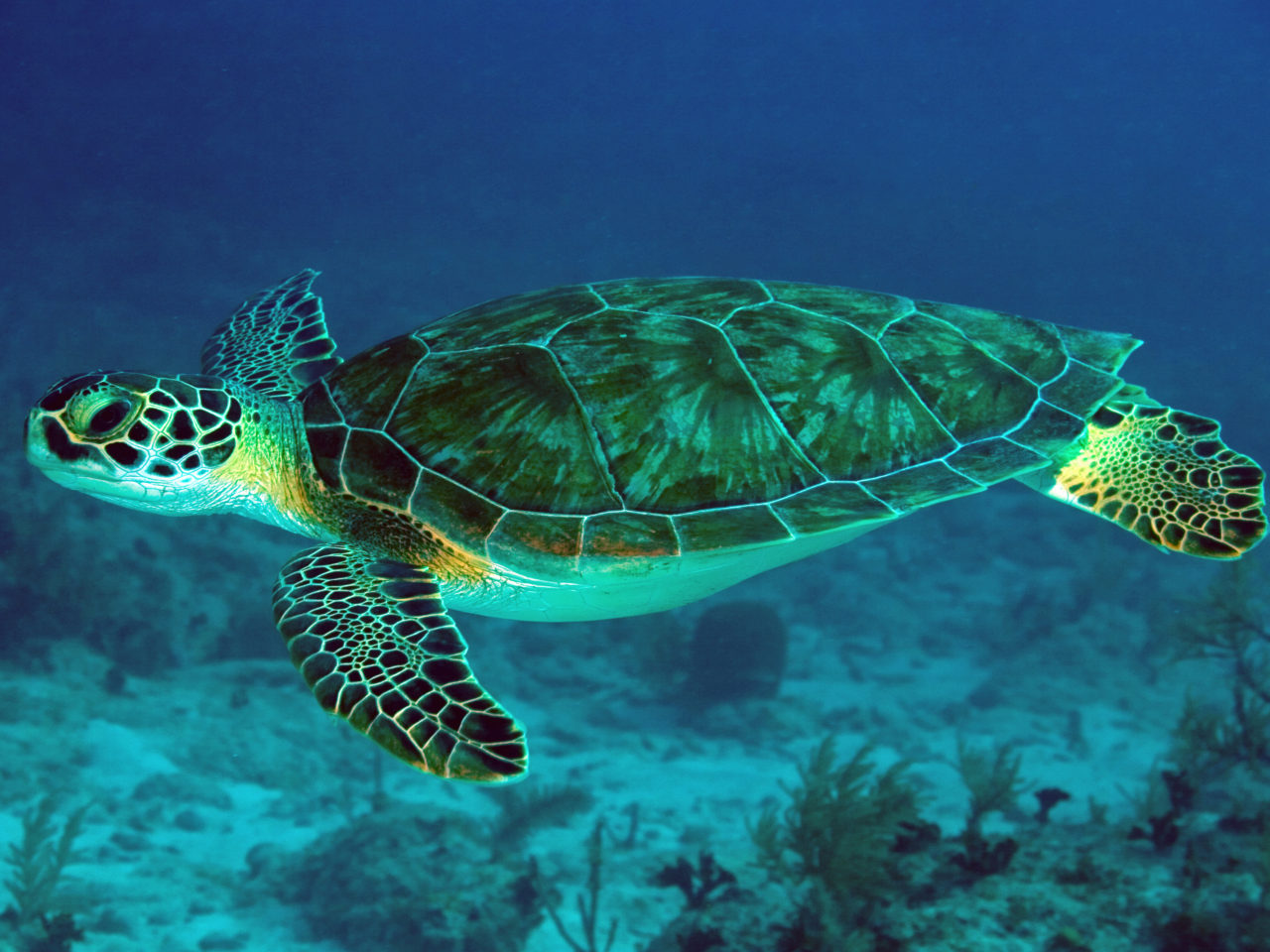 Iphone X Wallpaper Coral Reef Green Sea Turtle Underwater Scene Hd Wallpapers For Mobile