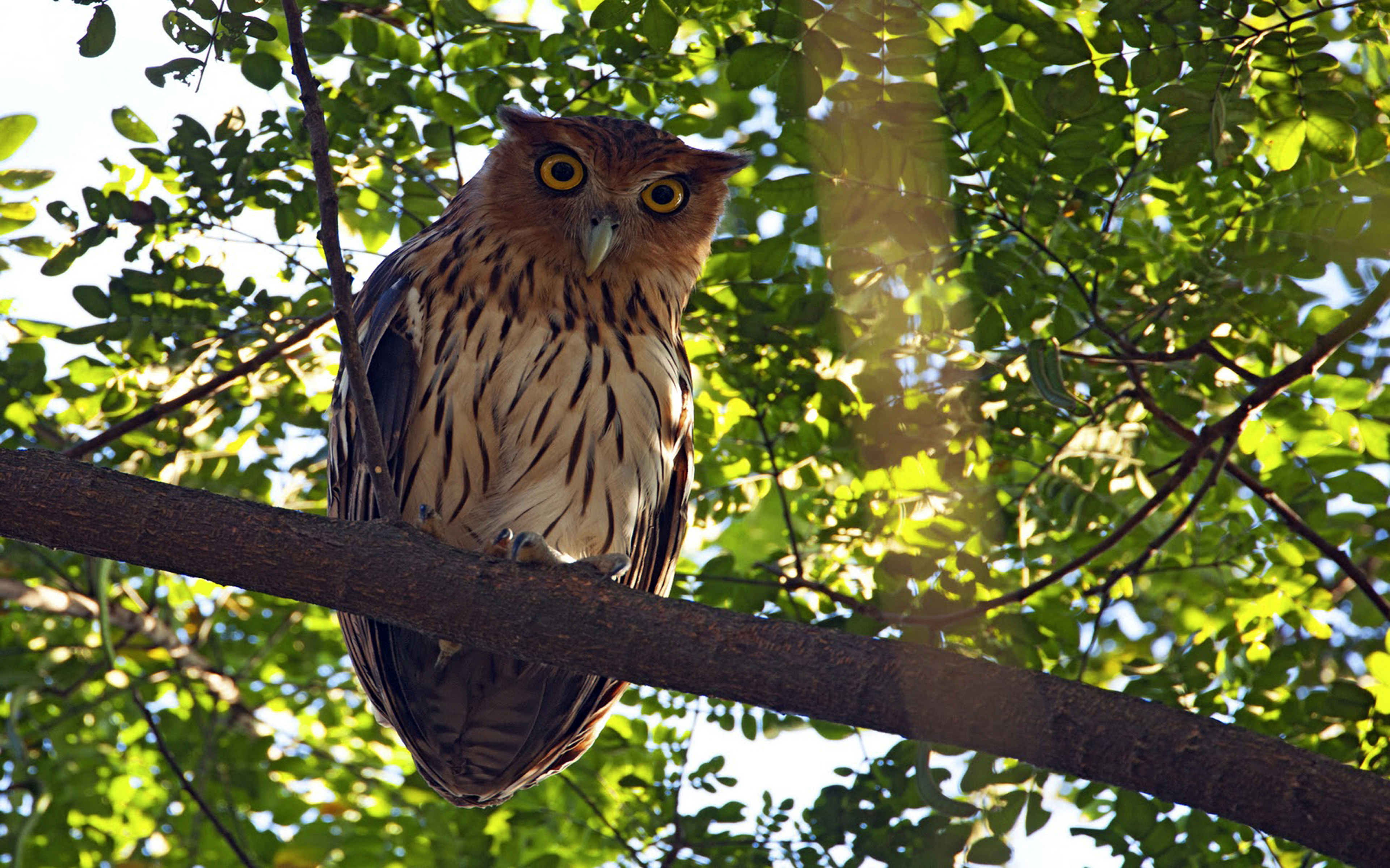 Fall Owl Wallpaper Philippine Eagle Owl Bubo Philippensis Birds Belonging