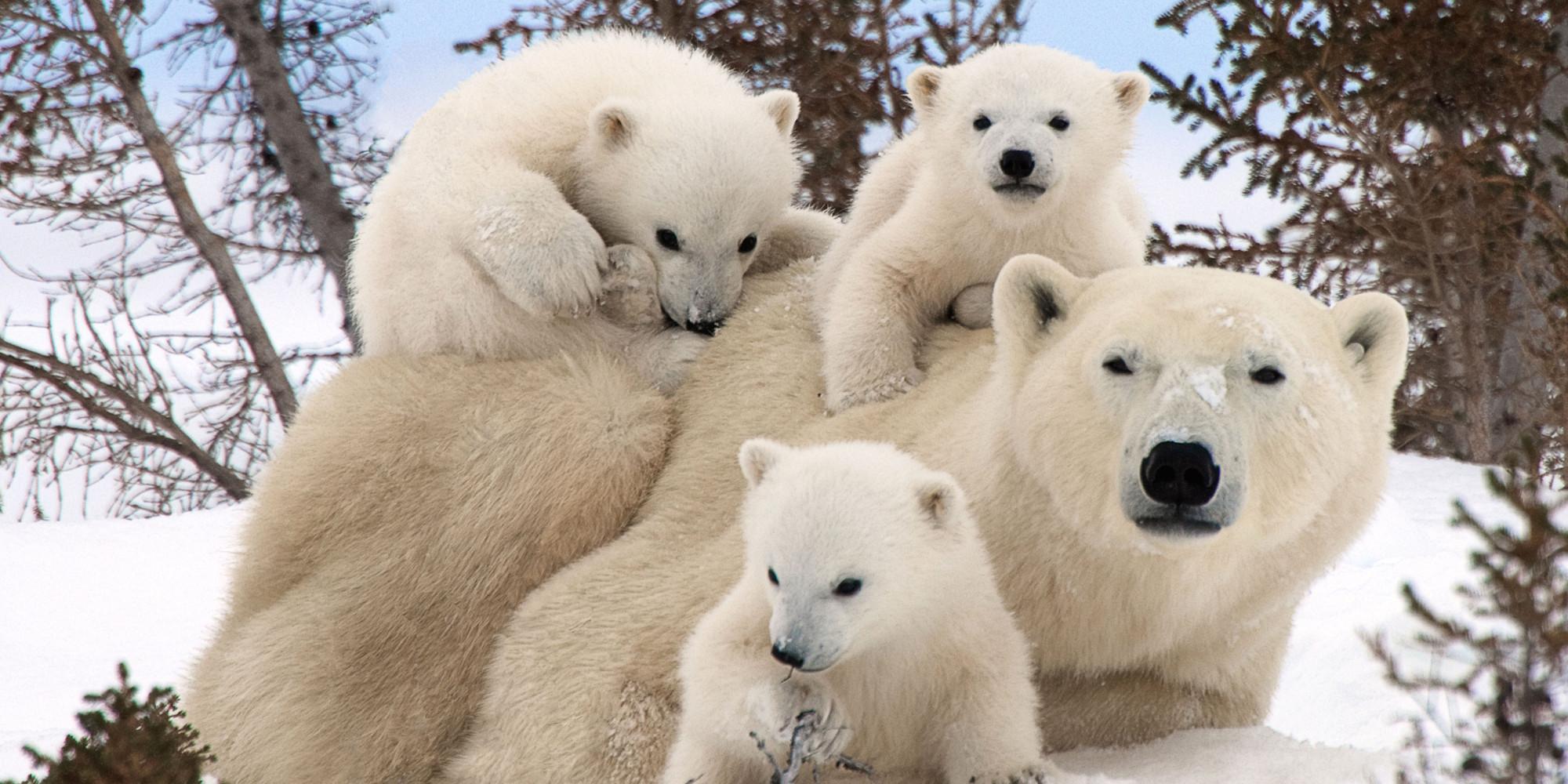 Cute White Teddy Bear Wallpapers Polar Bear Family Portraits Wallpapers13 Com