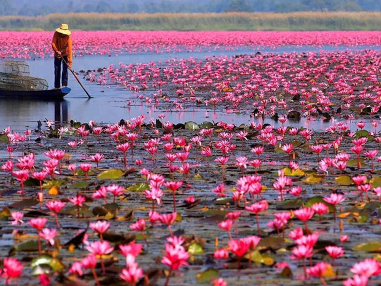 Wallpaper Full Color Hd Red Lotus Lake Color Pink Lotus Udon Thani Talay Bua Dang