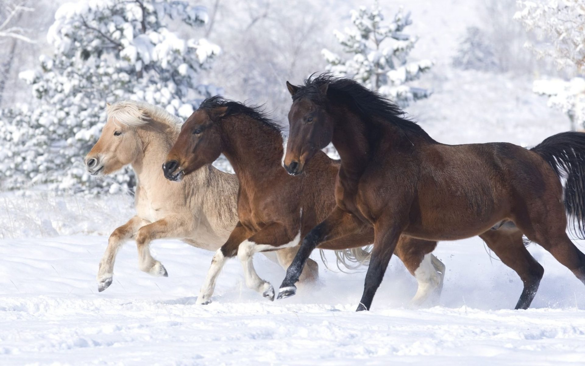 Cute Penguins Iphone Wallpaper Three Beautiful Horses Of Different Colors Running In Snow