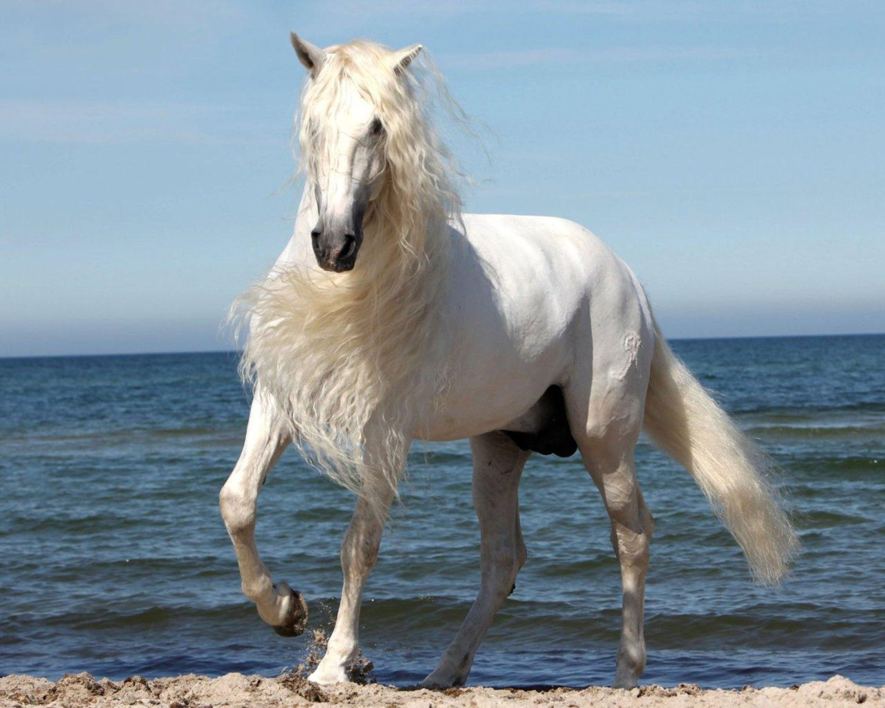 Cute Wallpaper Free To Use White Horse With Beautiful Mane Wallpaper Widescreen Hd