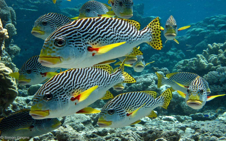 Exotic Cars Fall Wallpaper Zebra Tropical Fish Underwater Sea Life Diagonal Banded