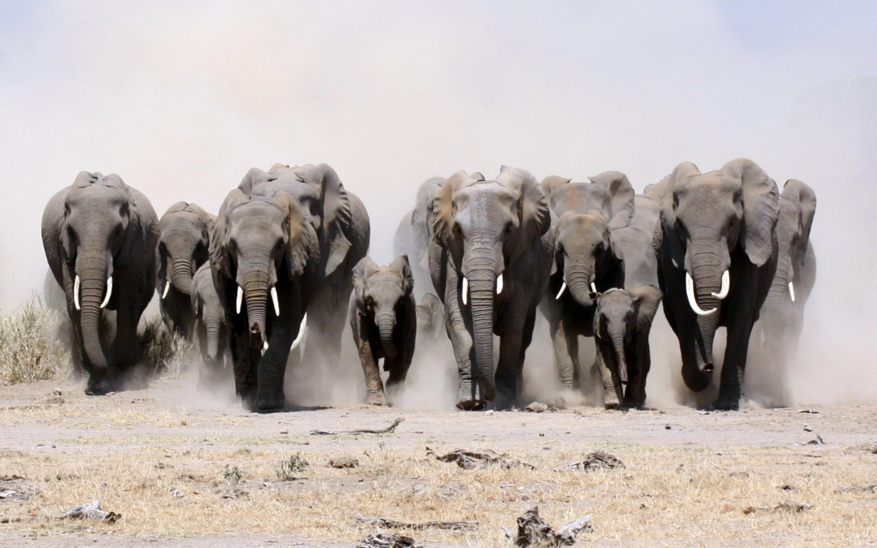 Chinese Dragon Wallpaper Hd A Herd Of African Elephants Running Dust Wallpaper For