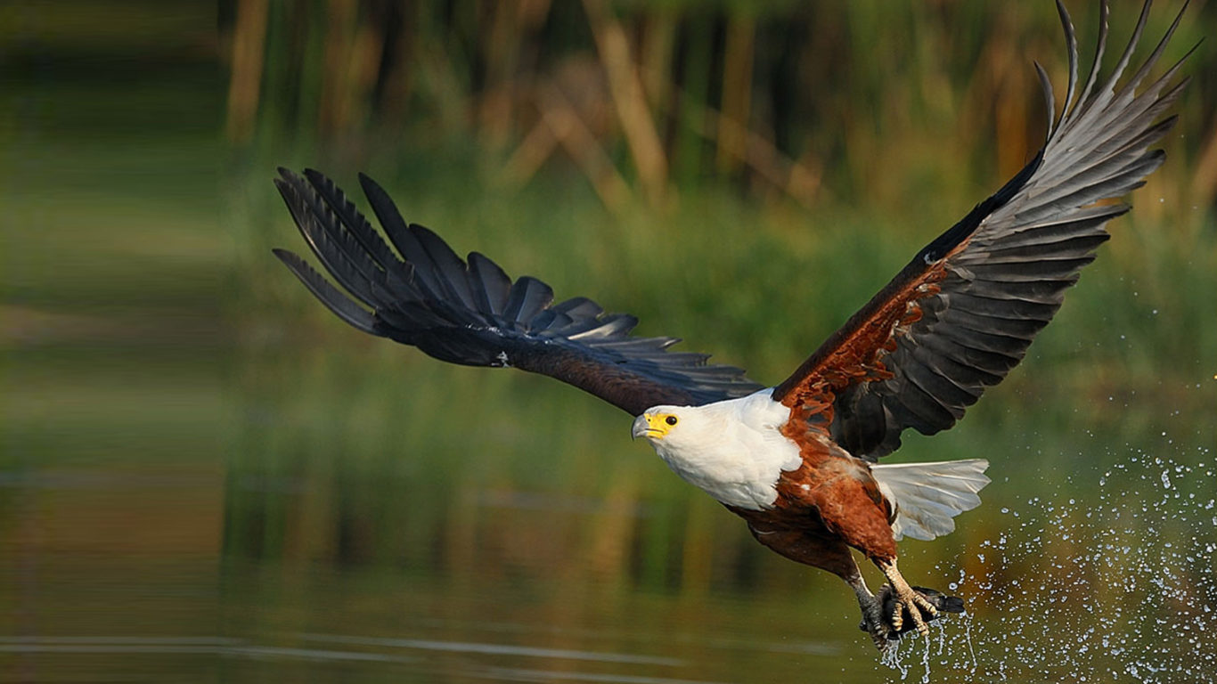 Hd Fish Live Wallpaper For Pc African Fish Eagle Haliaeetus Vocifer It Is The National