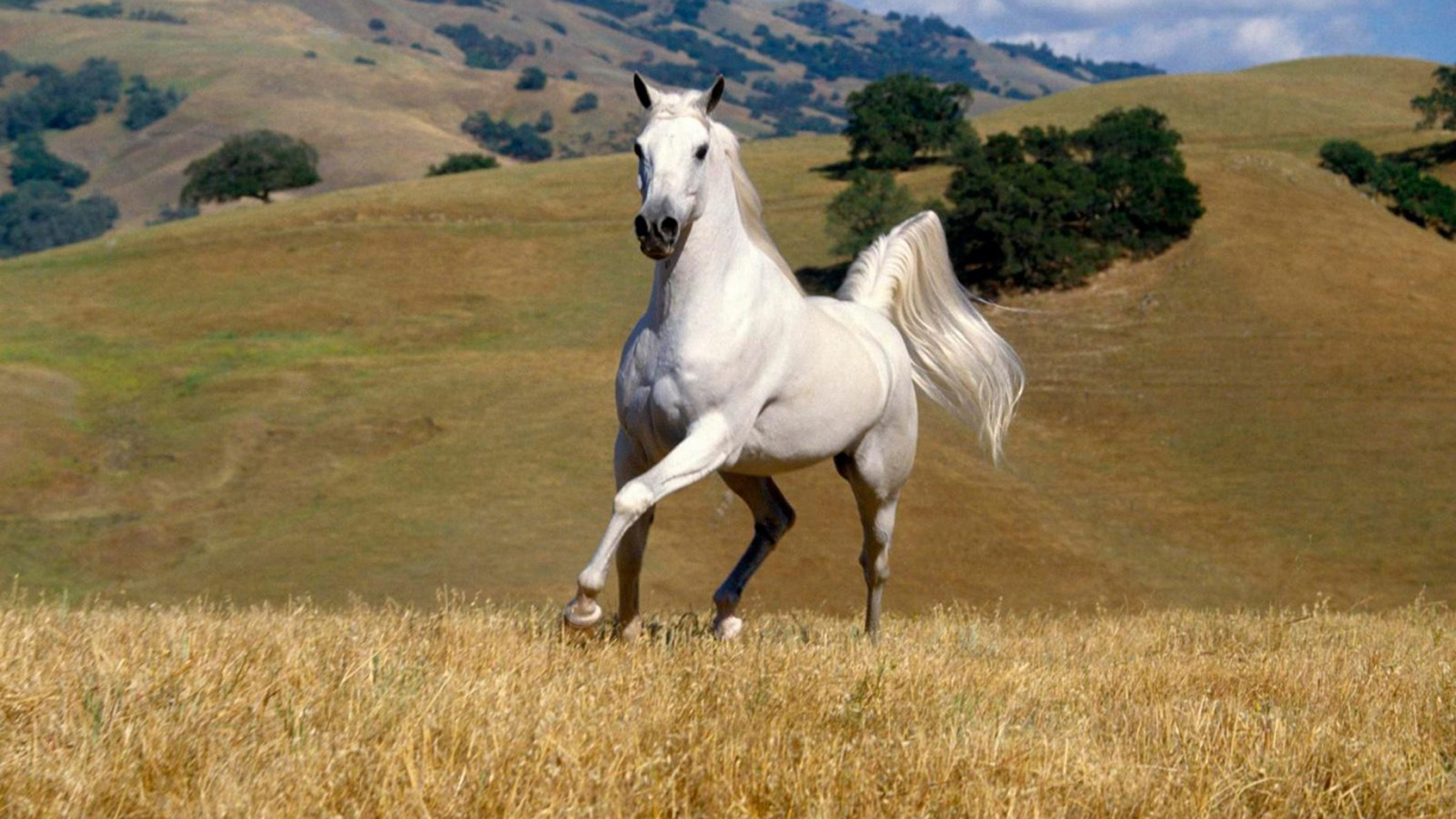 Beautiful Wild Animals Wallpapers Beautiful White Horse Galloping In Field Hd Wallpaper