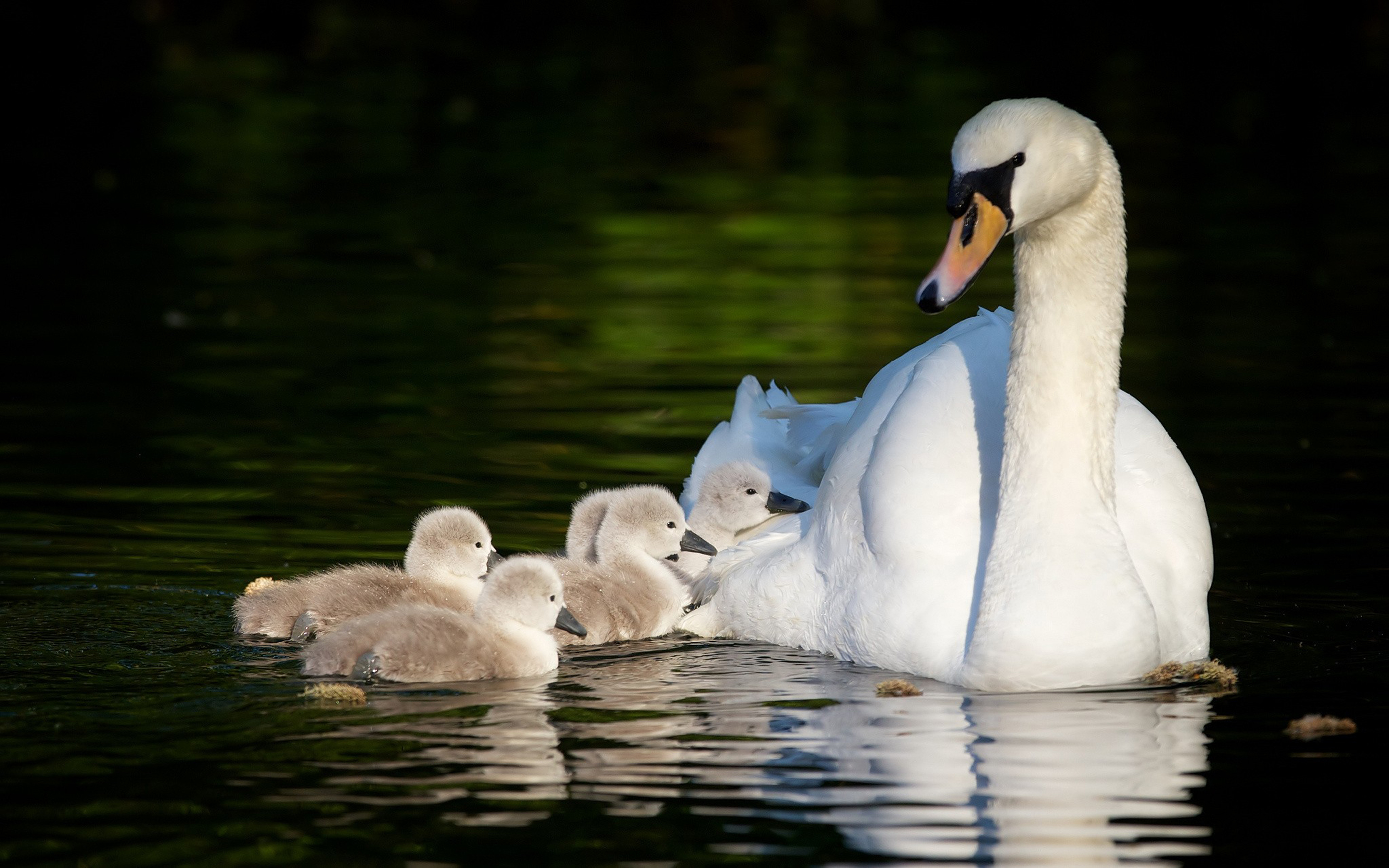 Wallpaper Hd For Desktop Full Screen Cute Birds Swan Family In Lake Walk Wallpaper Widescreen Hd