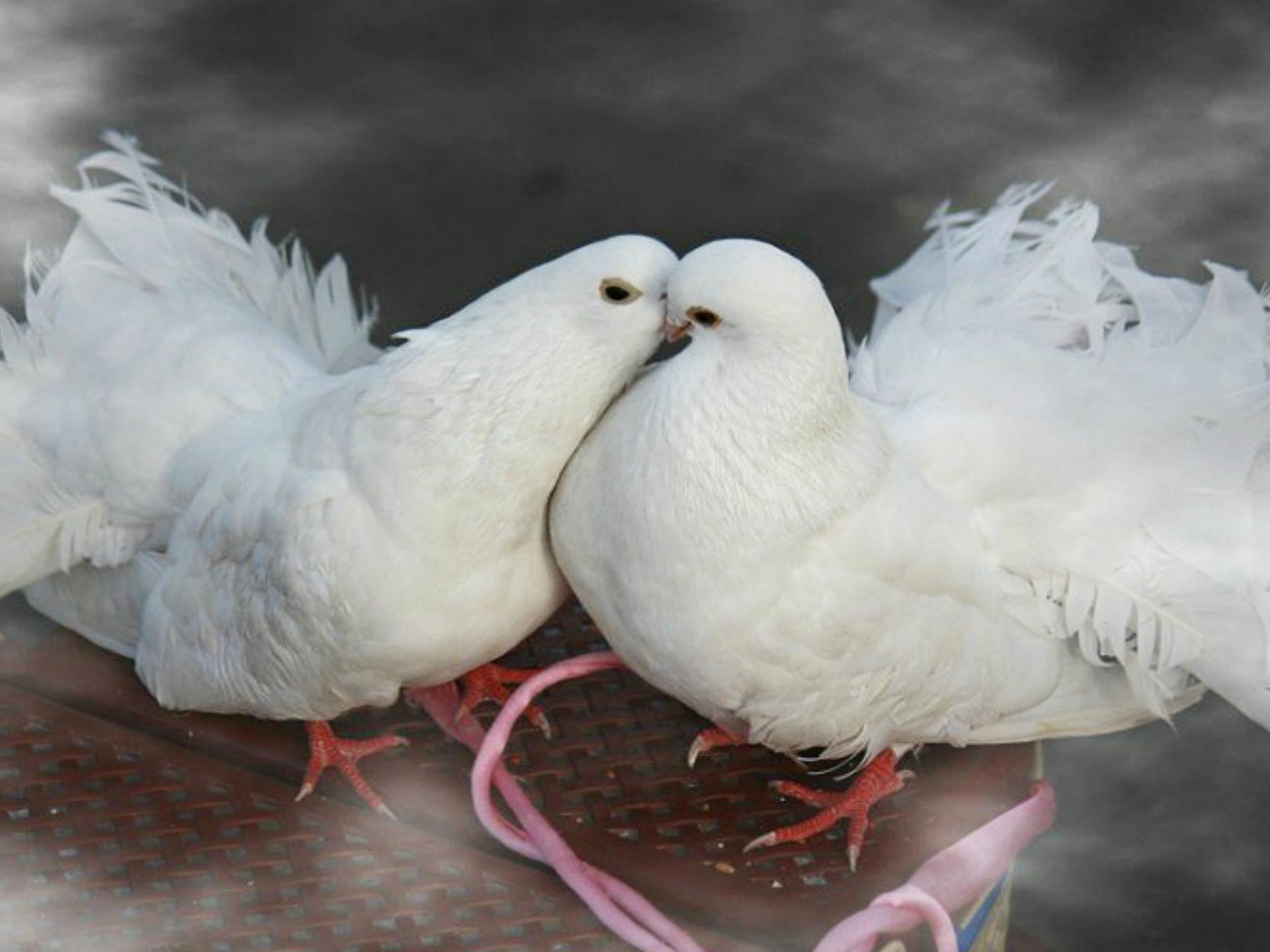 Download Bible Quotes Wallpaper Birds Kissing White Doves Widescreen Free Download