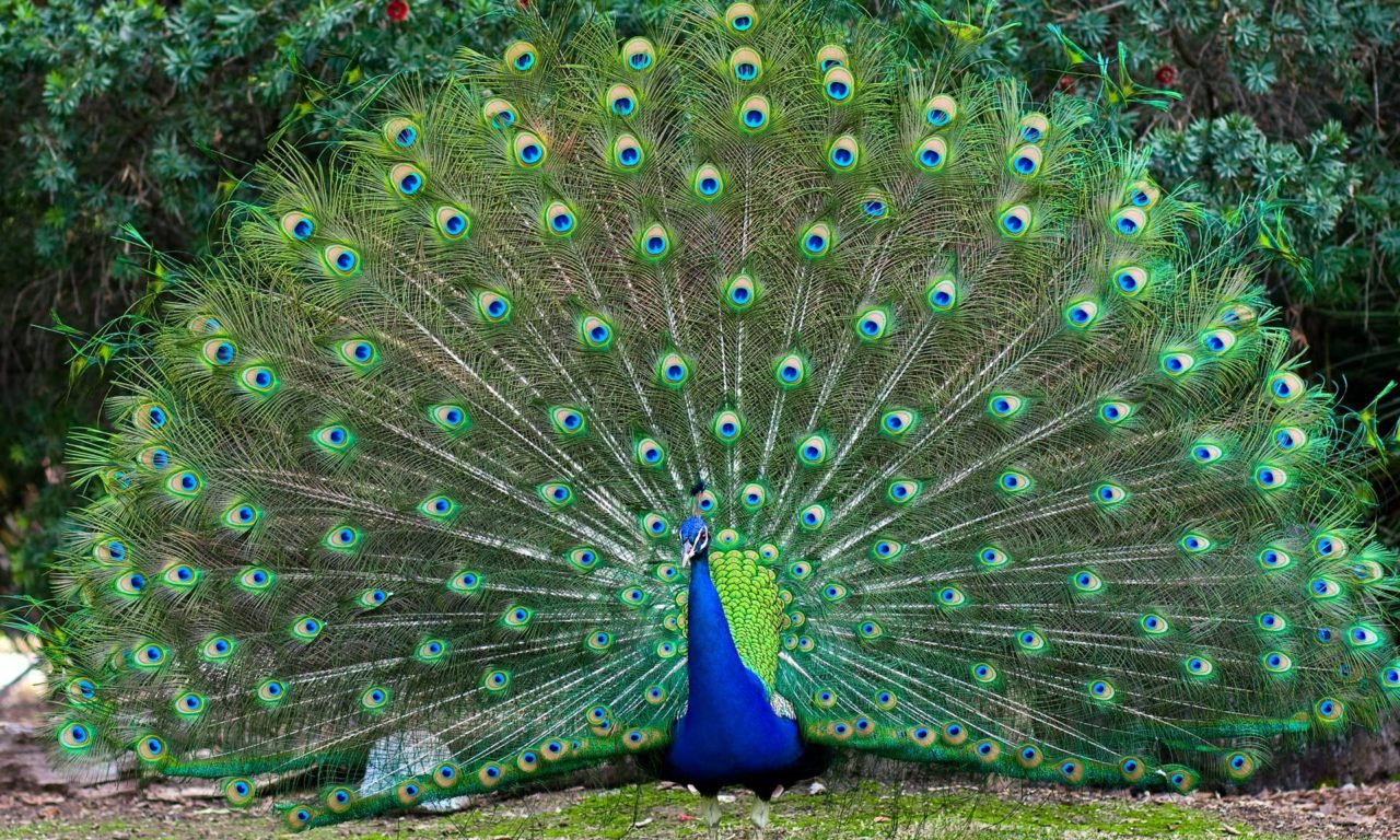 Iphone Wallpaper Hd Girl Colorful Bird Male Peacocks Spread Tail Feathers Desktop