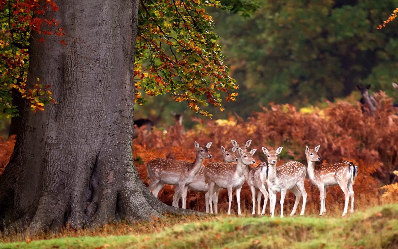 Deer Iphone Wallpaper Deer Herd Autumn Forest Grass Trees 3840x2400
