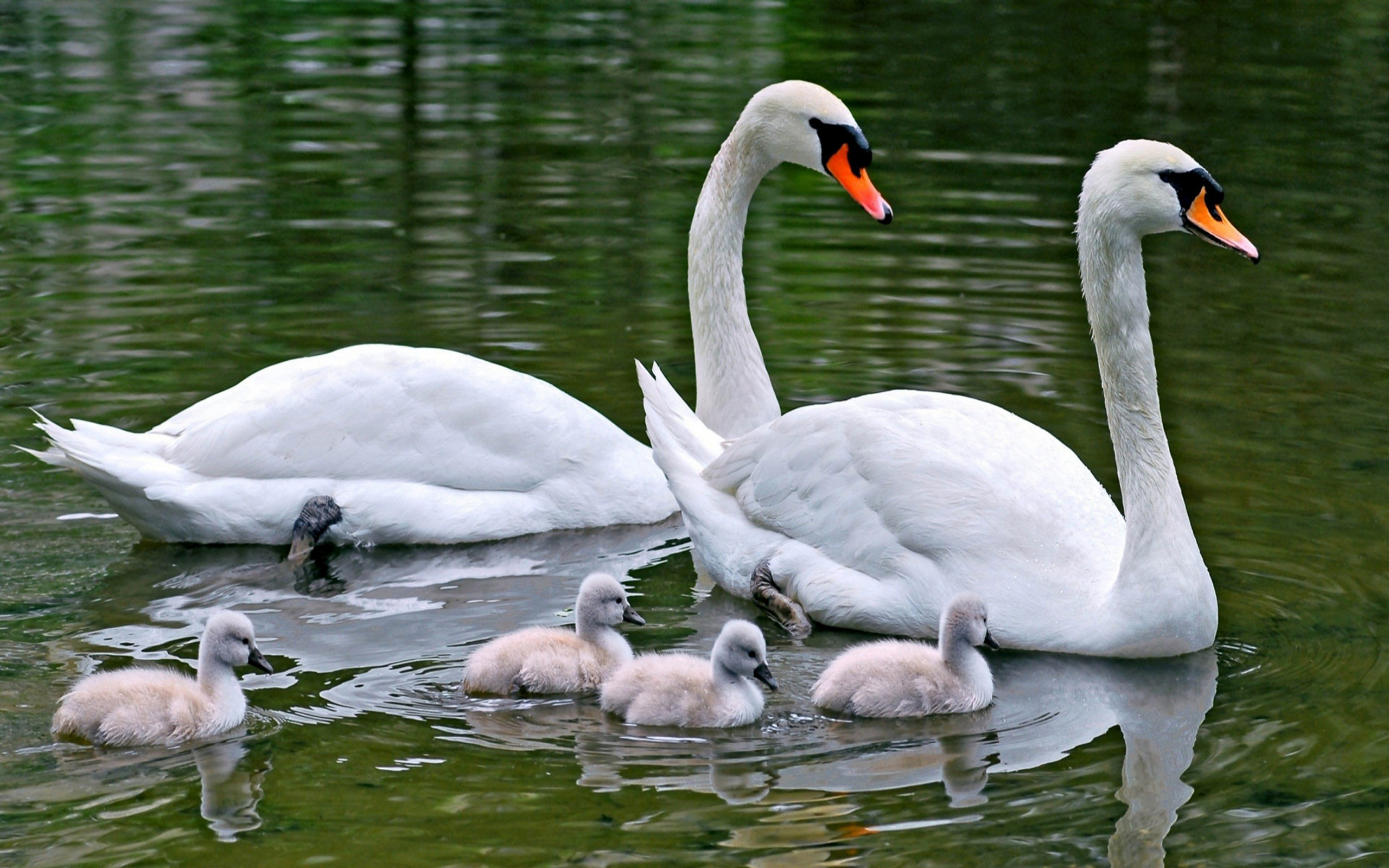 Family Swans And White Swans And Young Adults Swans
