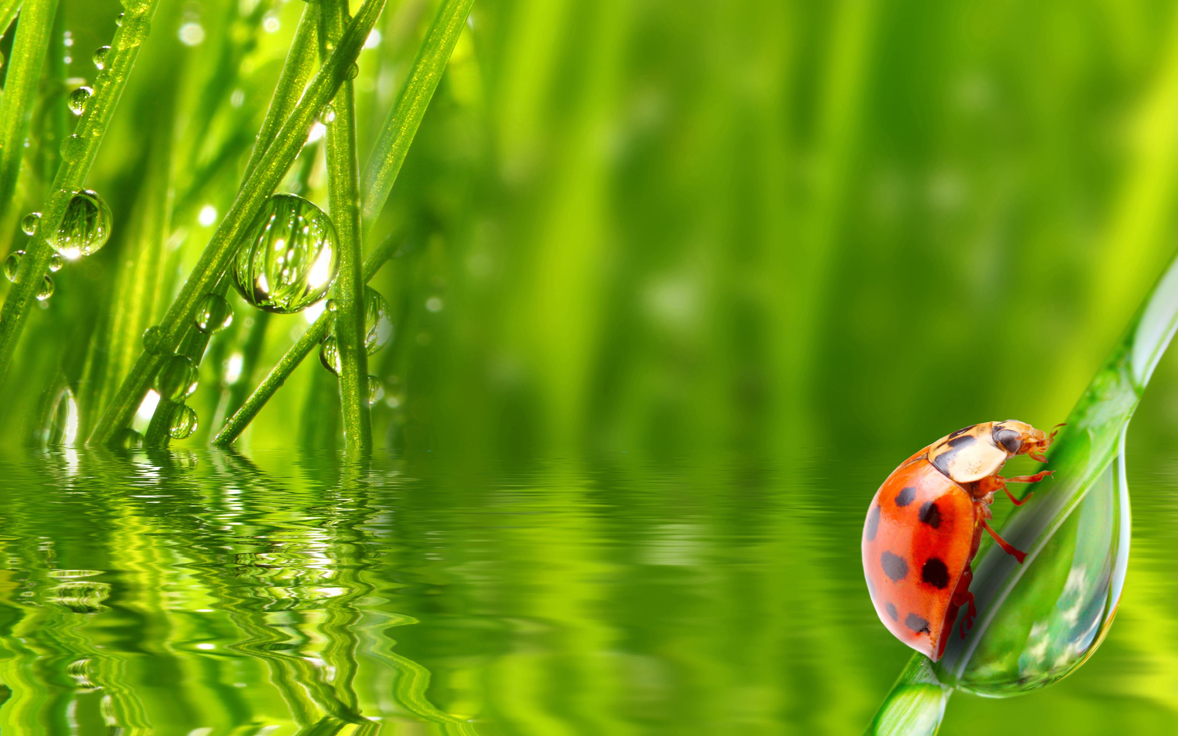 Water Drop Wallpaper For Iphone Lady Bug Insect Water Grass Morning Dew Drop Hd Wallpaper