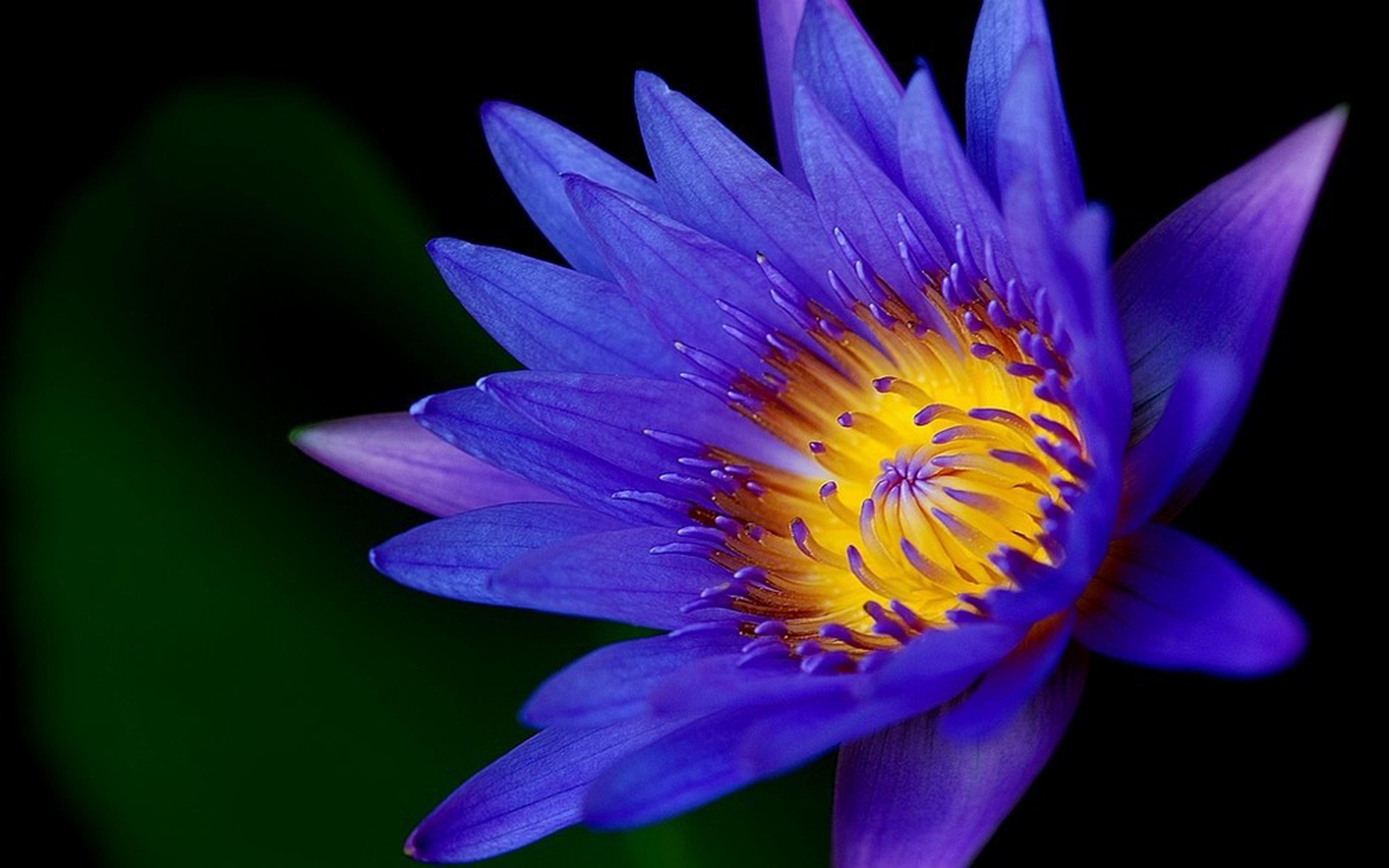 Iphone 6 Orange Flower Wallpaper Lotus Flower Dark Blue Color Hd Wallpapers For Mobile