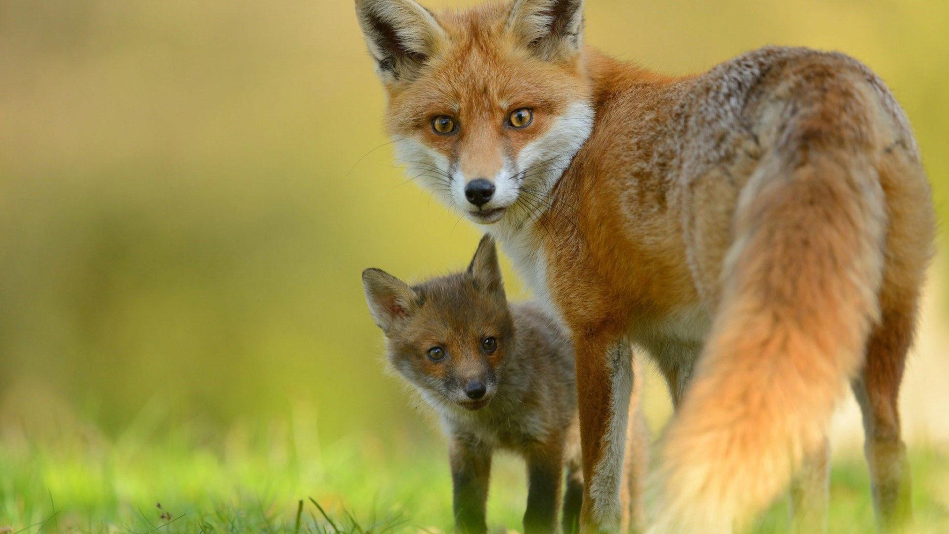 Babies Wallpaper Cute Red Fox Amp Cute Little Fox Hd Wallpaper Wallpapers13 Com