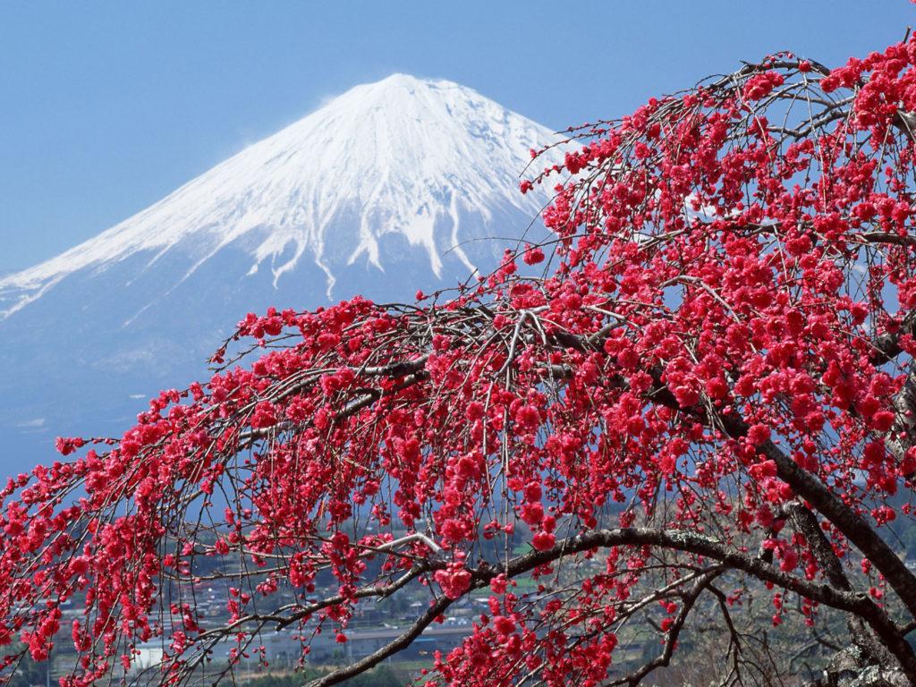 Spring Landscape Mount Fuji Peak Covered With Snow Sakura Blossomed Tree Desktop Wallpaper Hd