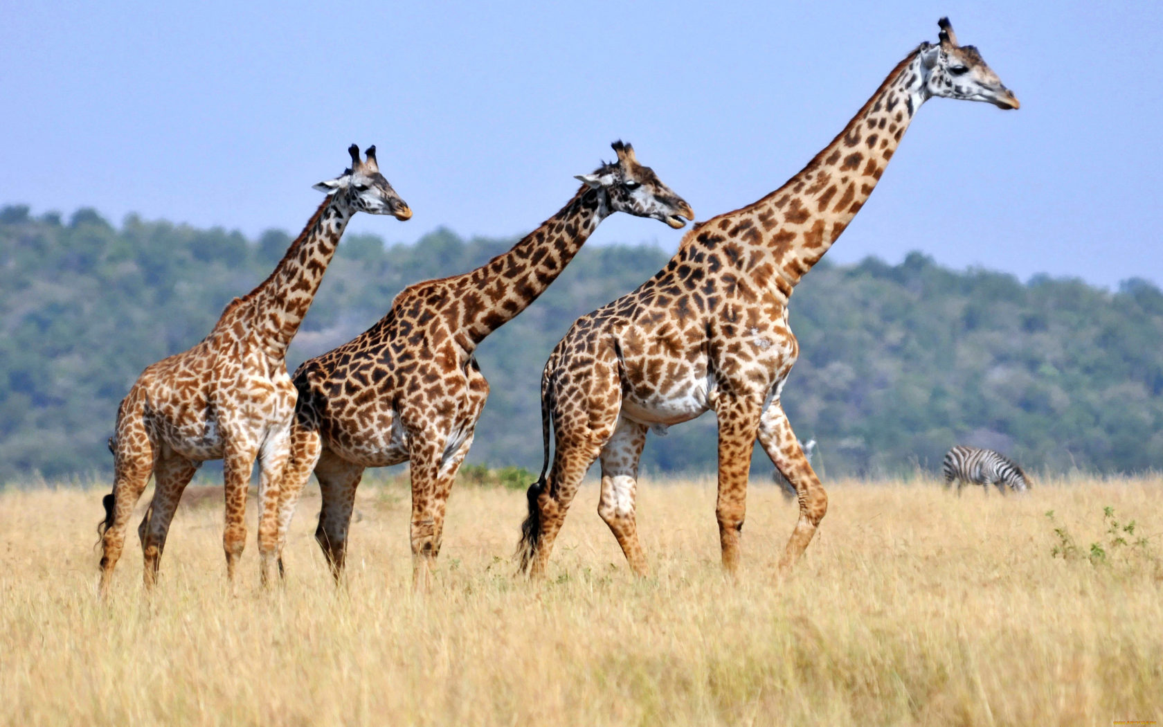 Wallpaper Hunter X Hunter Iphone Three Giraffes Animals With Long Neck Striped Body Casts