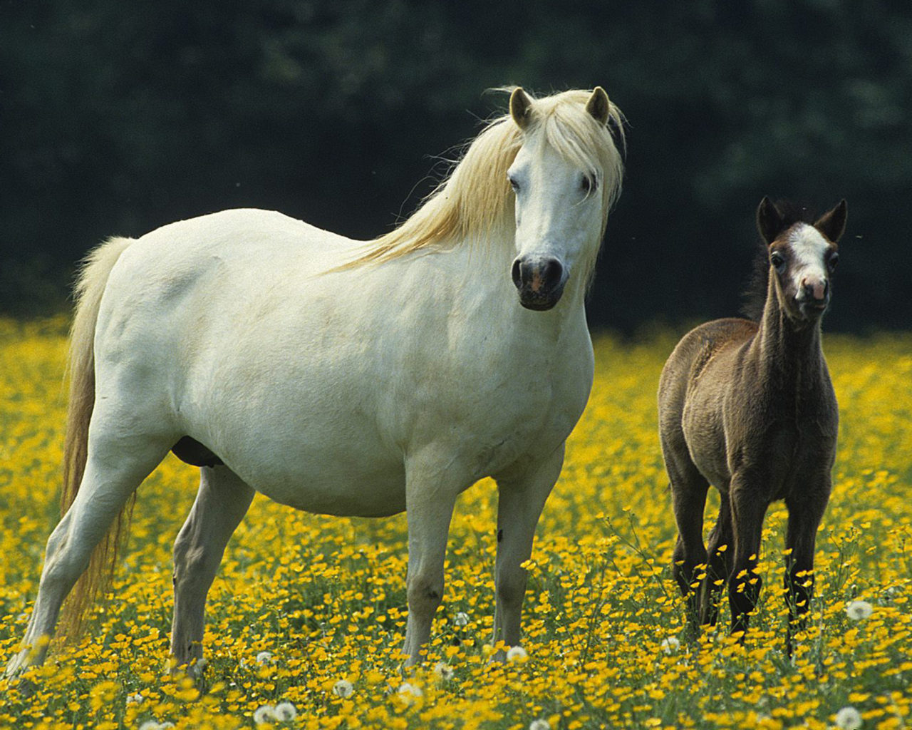 Cute Kitten Christmas Wallpaper White Horse Small Black Colt Meadow With Yellow Flowers