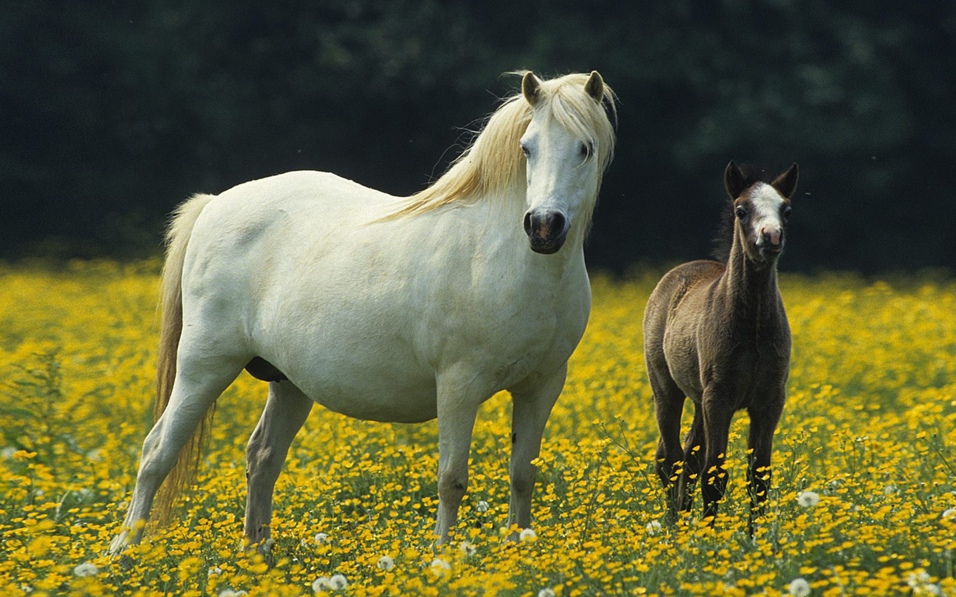 Cute Christmas Penguin Wallpaper White Horse Small Black Colt Meadow With Yellow Flowers