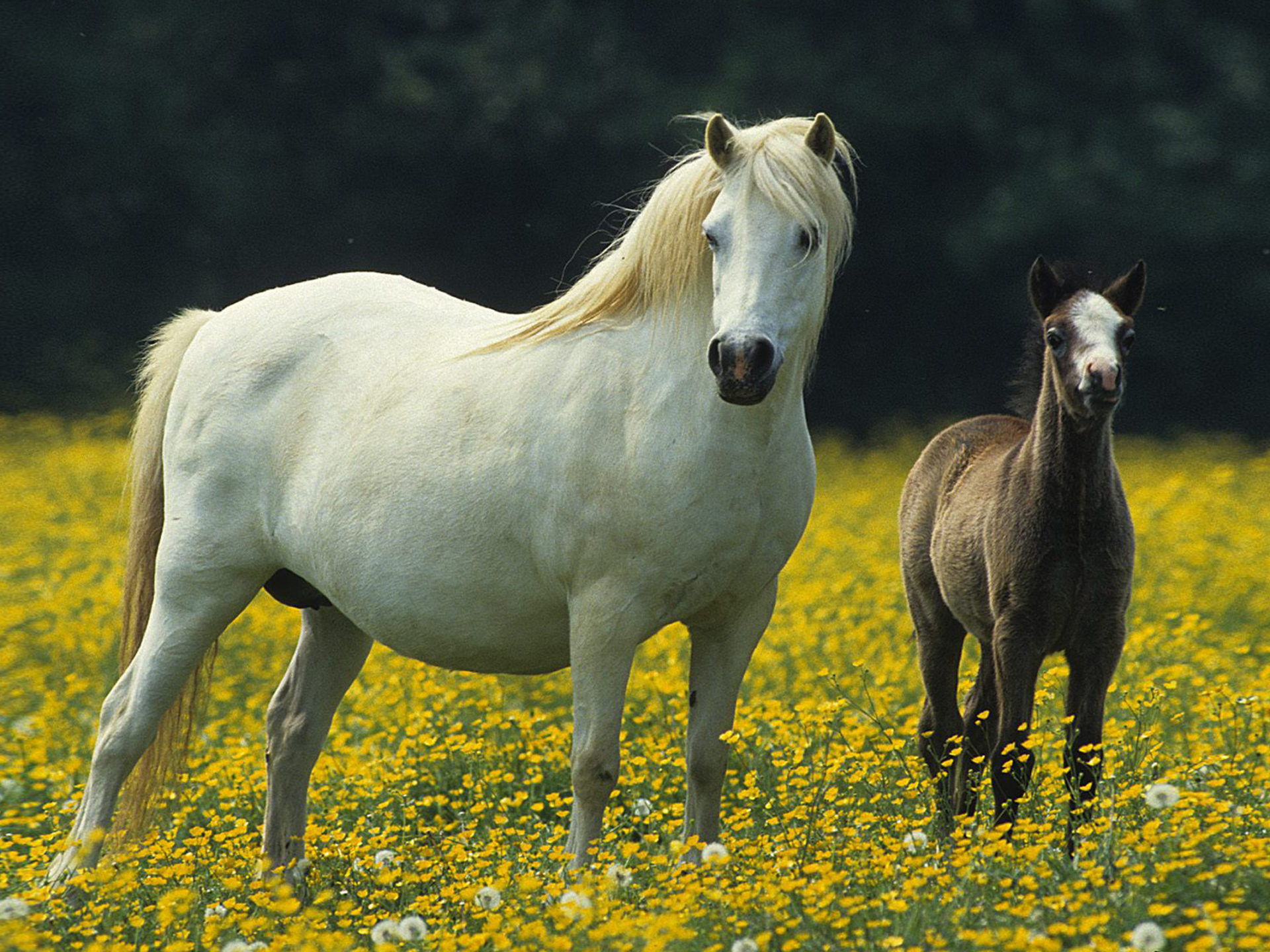 Cute Lock Screen Wallpapers Hd White Horse Small Black Colt Meadow With Yellow Flowers