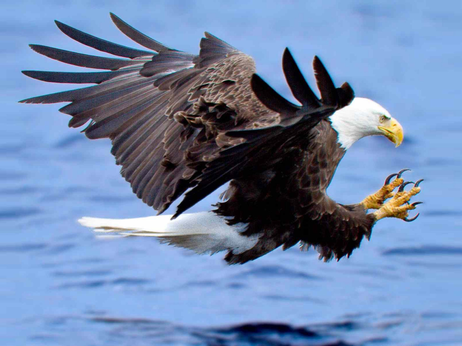 Cute Duck Wallpapers Attack Of The Bald Eagle Hunting For Fish In The Lake