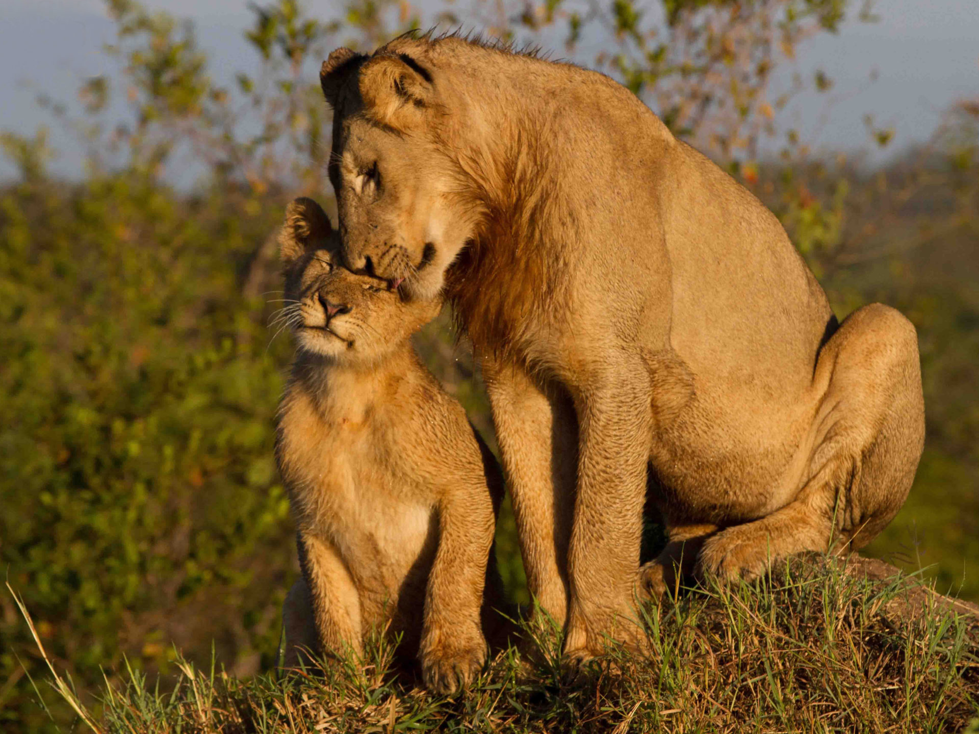 Cute Frog Wallpapers Hd Maternal Love Lioness With Cub Widescreen Free Download