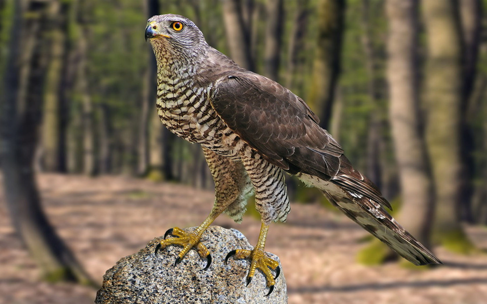 Desktop Wallpaper Cute Girl Northern Goshawk Bird Accipiter Gentilis Hd Wallpapers For