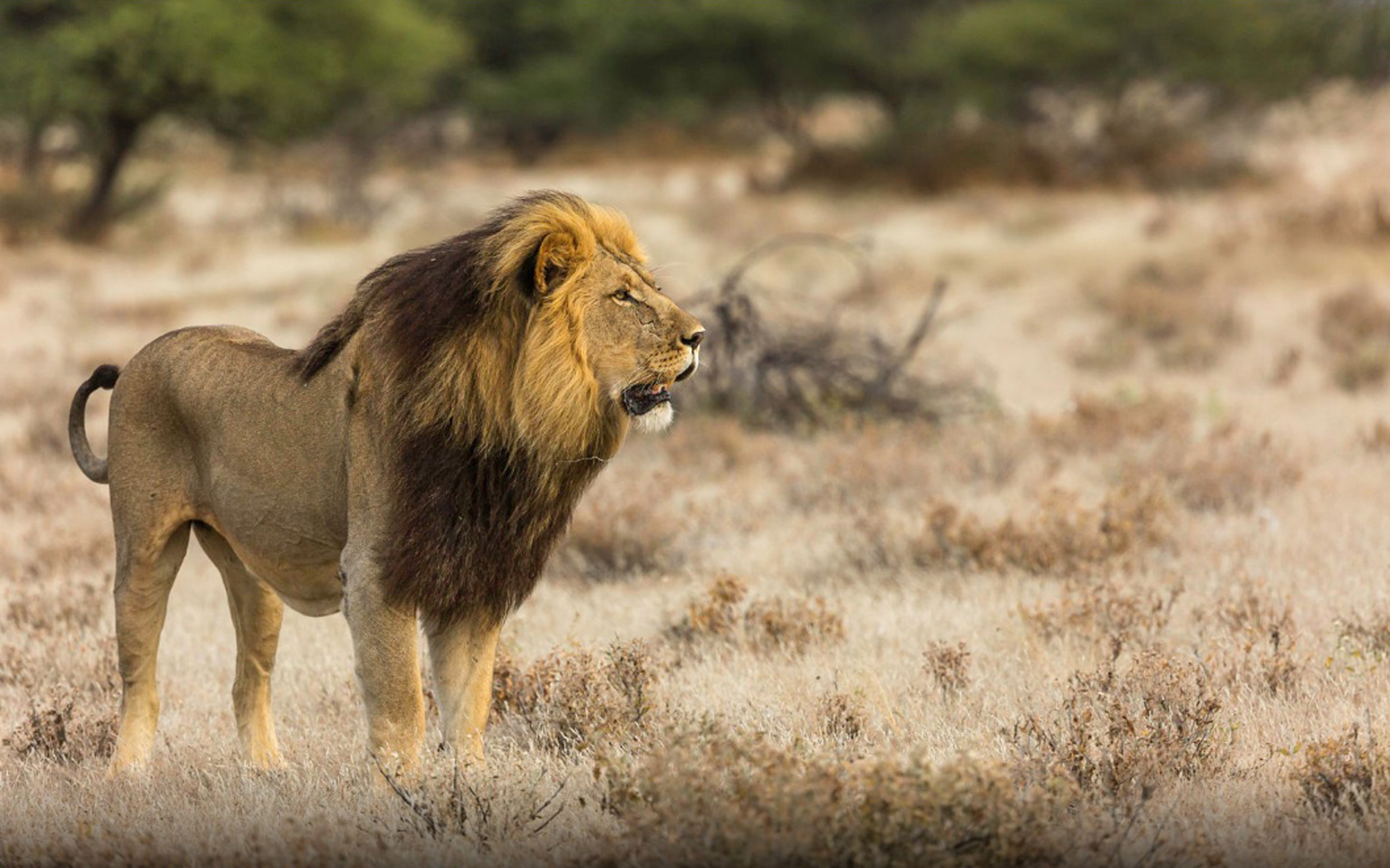 Cute Donald Duck Wallpapers African Lion Male Lions Some More Common Than The Weight