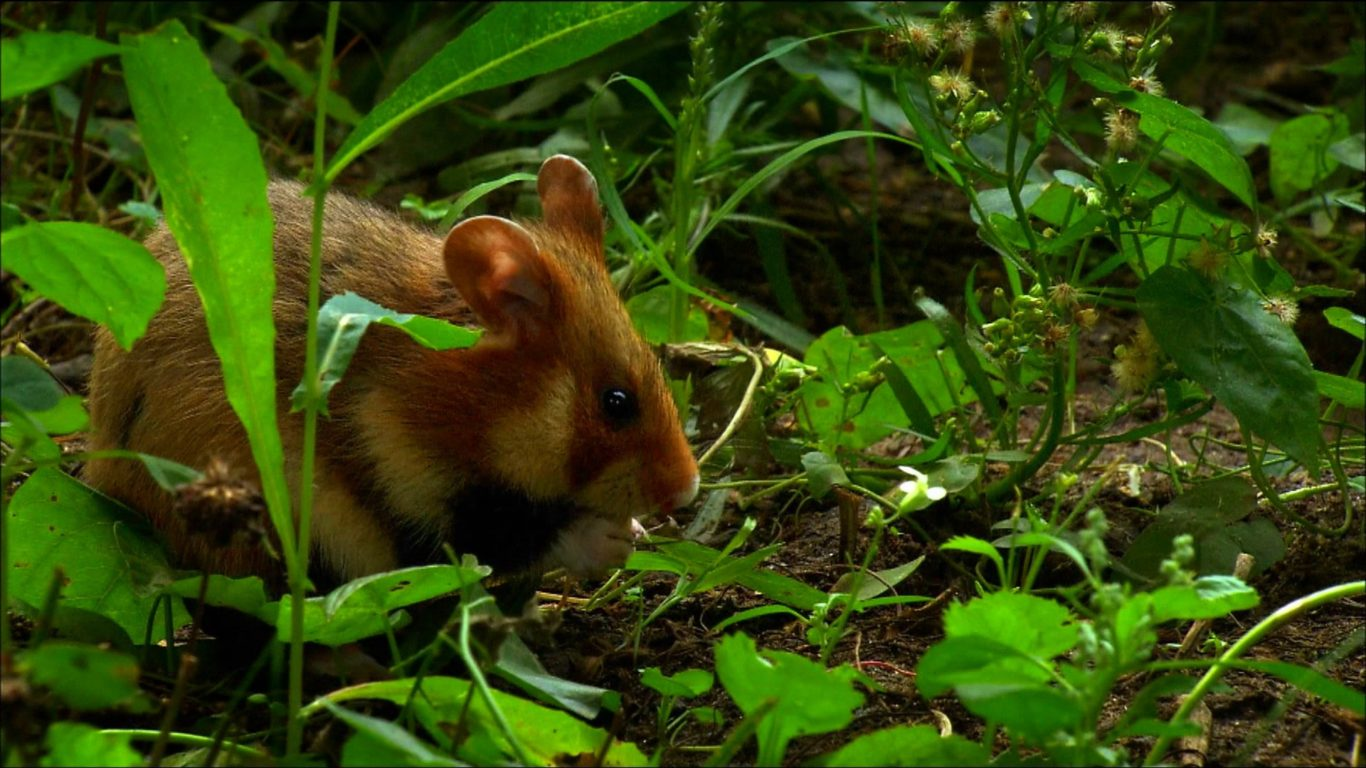 Weird Hd Wallpaper Cars Animals Mouse Hamster Forest Green Grass 1920x1080