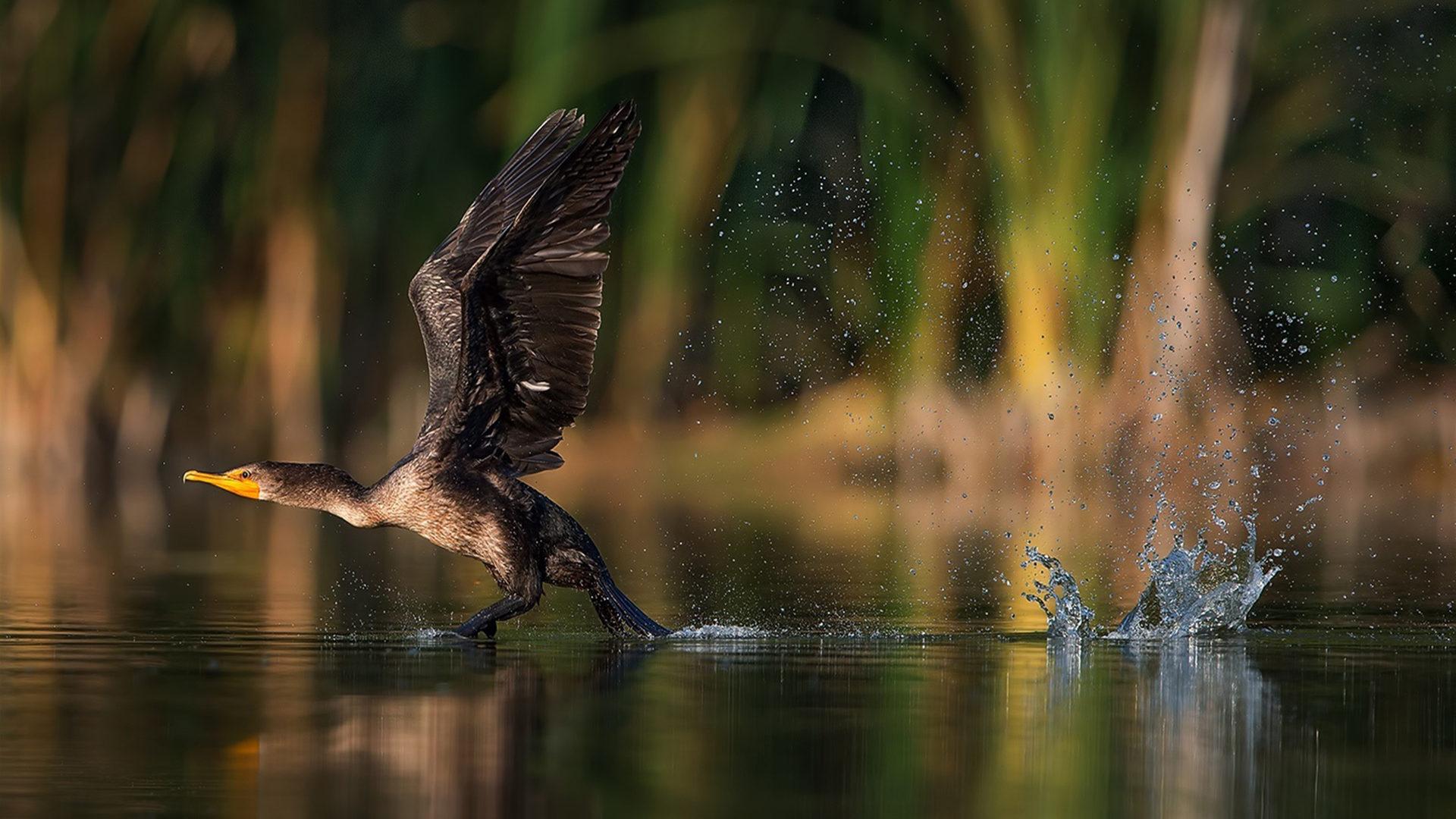 Camouflage Iphone Wallpaper Cormorant Bird Taking Off From Lake Water Desktop