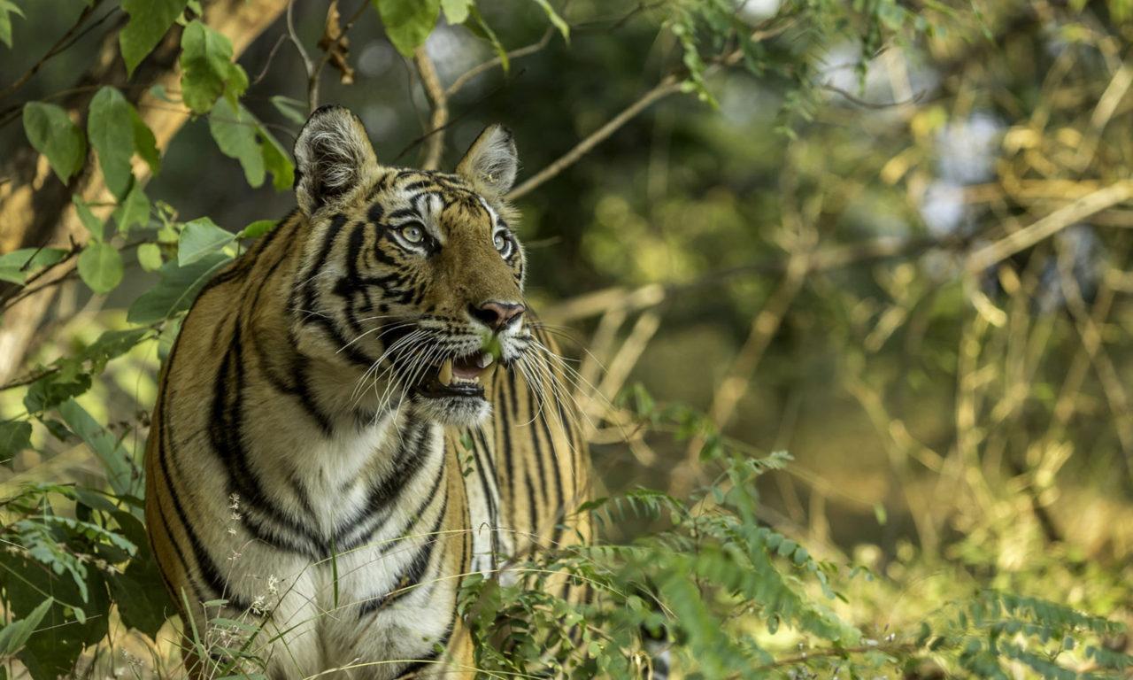 Tiger Animal Wallpaper Dangerous Wild Animals Indian Tiger Desktop Wallpaper Hd