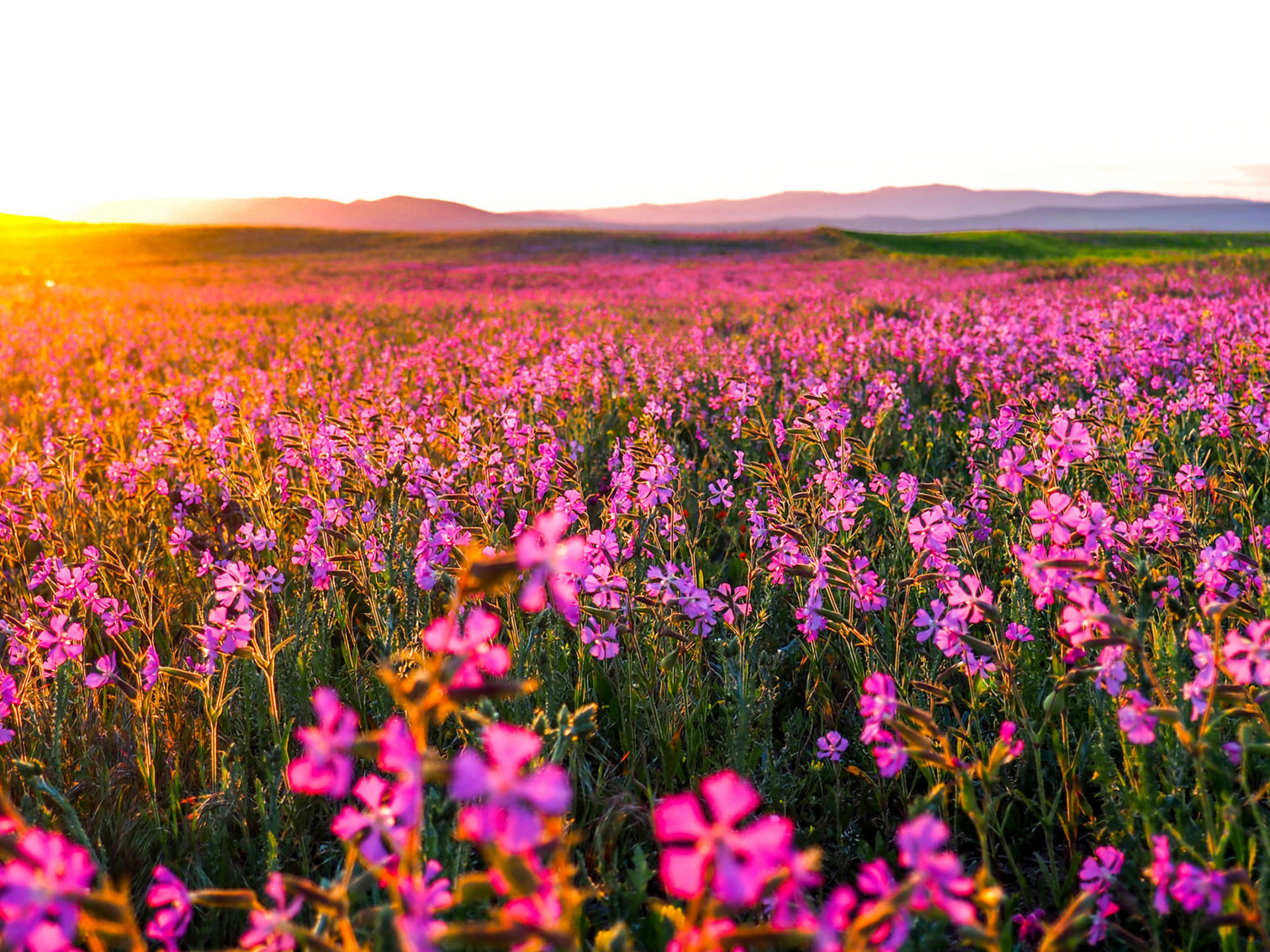 Fall Mist Wallpaper Sunrise Field With Pink Flowers In The Early Morning Hd