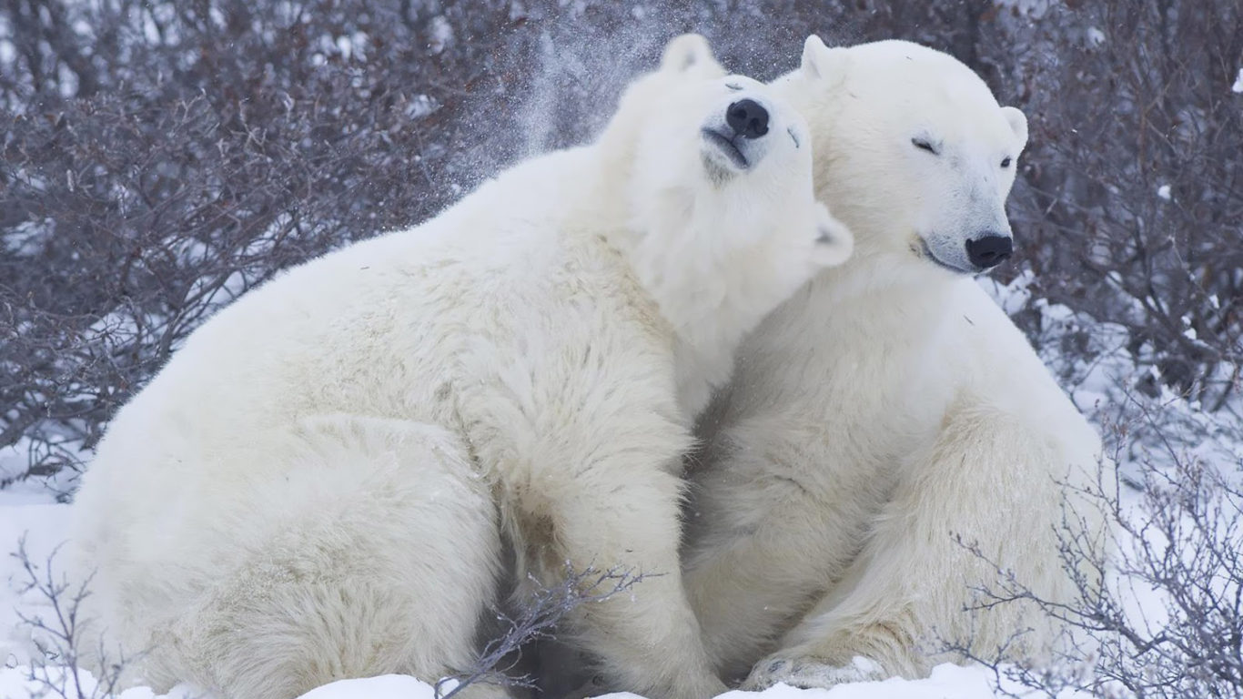 Cute Couple Wallpapers For Lock Screen Animals Lying Around Two Polar Bears Desktop Hd Wallpaper