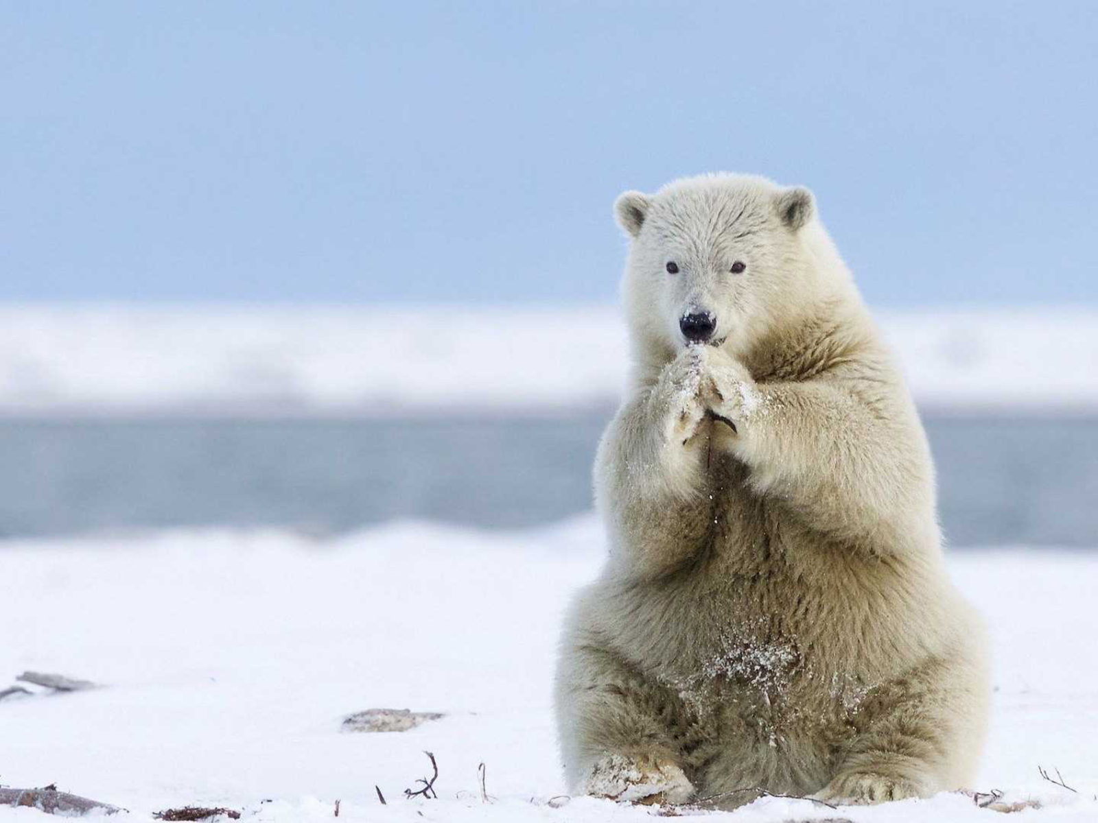 Free Cute Wallpaper For Iphone 4 Animals Of Greenland White Polar Bear Heating Of Cold Feet