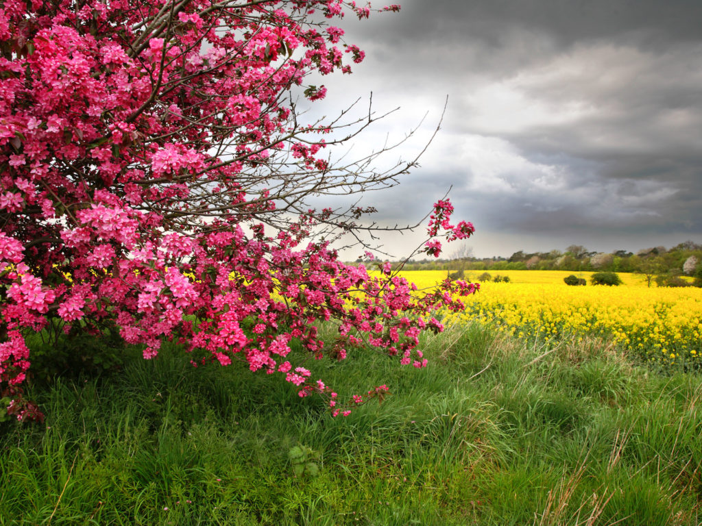 Color Spring Tree With Pink Flowers With Yellow Field
