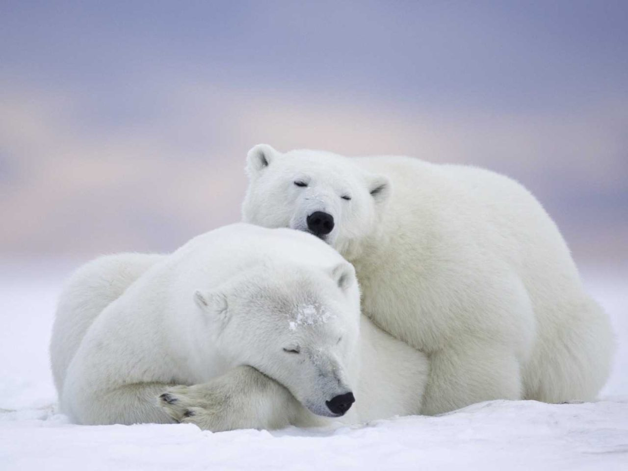 Animal Wallpaper Desktop Background Polar Bear Mating Takes Place On The Ice Between April And