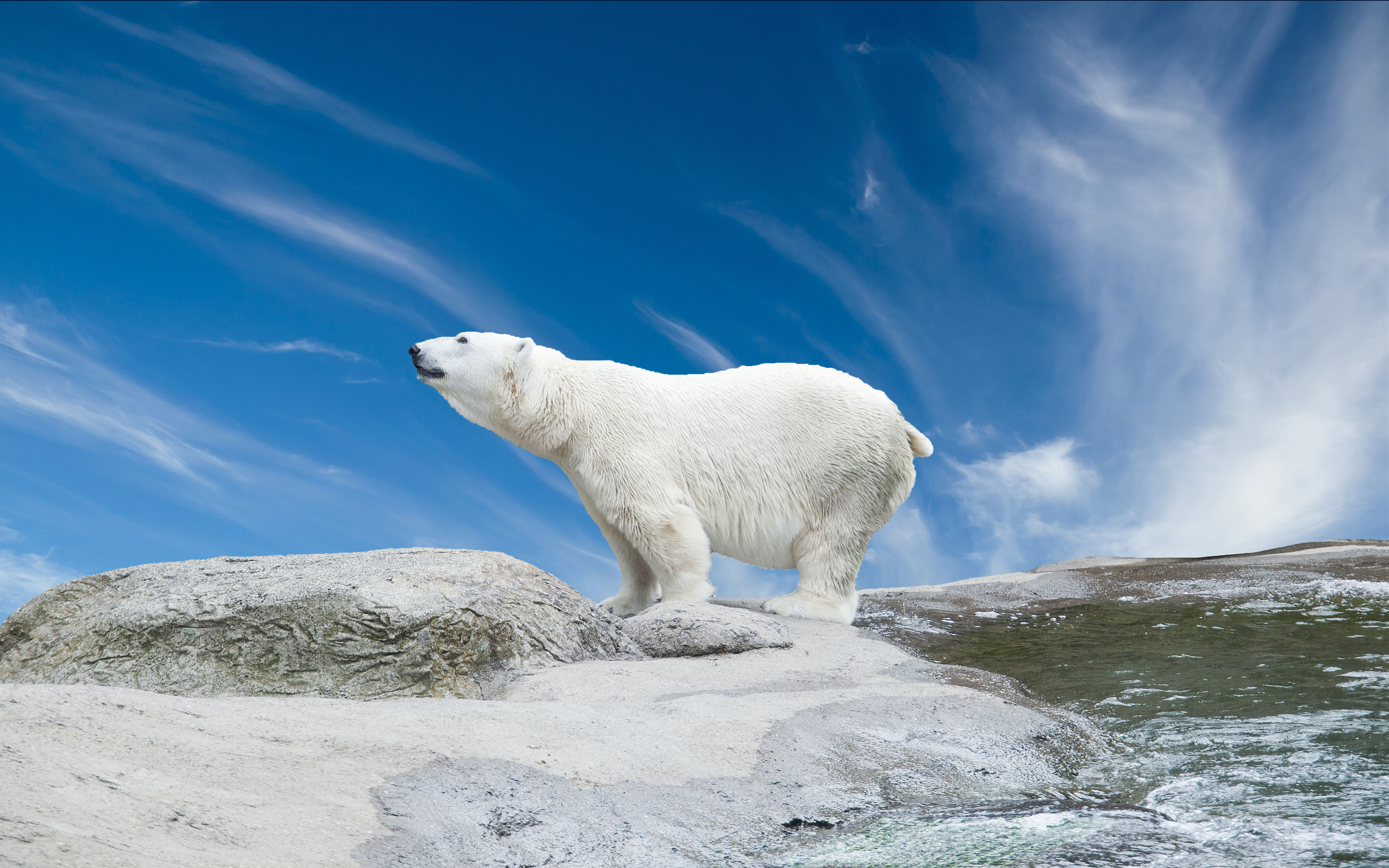 Zebra Wallpaper Hd The Polar Bear Has An Elongated Body Small Well Developed