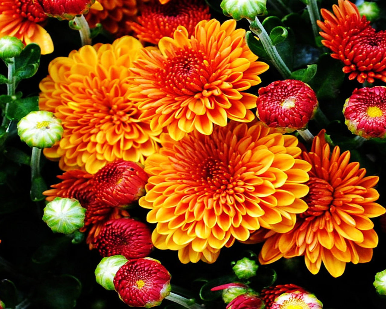 Free Fall Disney Wallpaper Fall Mums Colored Flowers From The Garden With A Beautiful
