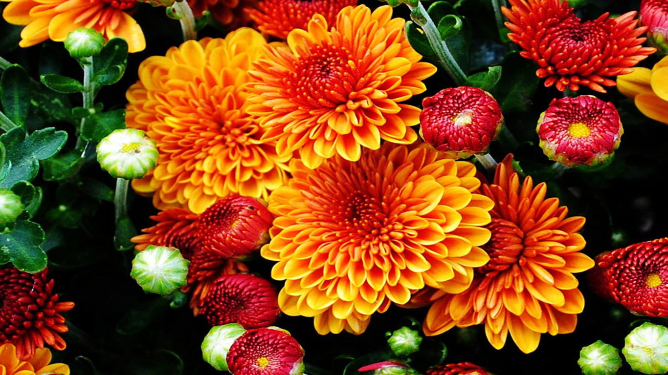 Free Fall Screensavers And Wallpaper Fall Mums Colored Flowers From The Garden With A Beautiful