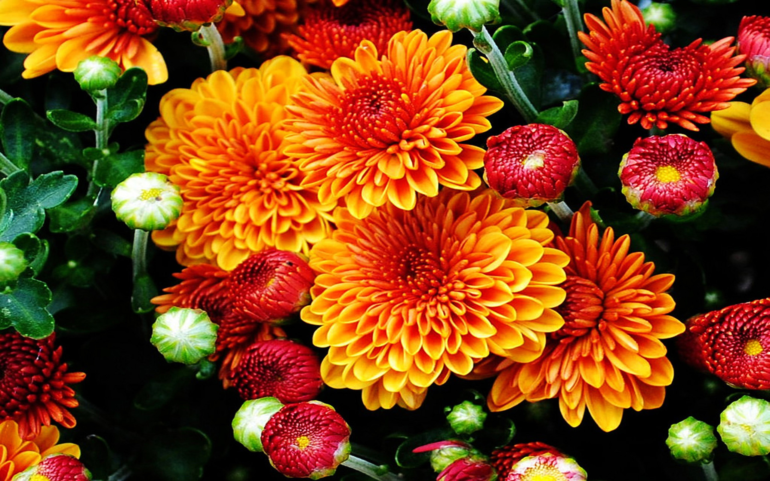 Cute Fruit Wallpaper For Android Fall Mums Colored Flowers From The Garden With A Beautiful