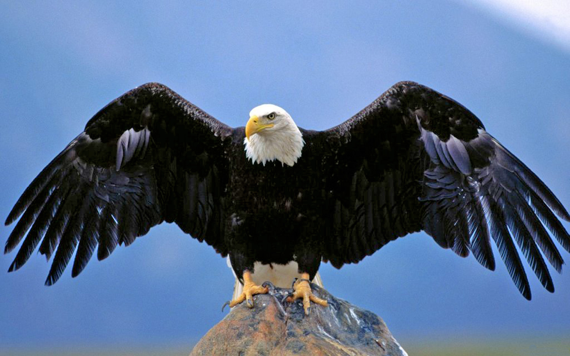 Free Wallpapers Cars And Beautiful Ladies Bald Eagle Spread Wings Desktop Hd Wallpaper For Pc Tablet