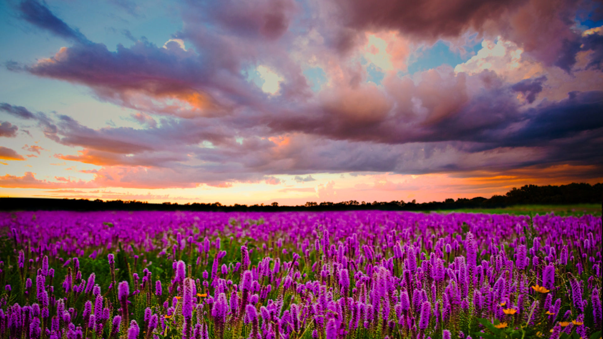 Sunset Field With Purple Flowers Of Lavender Sky With Dark