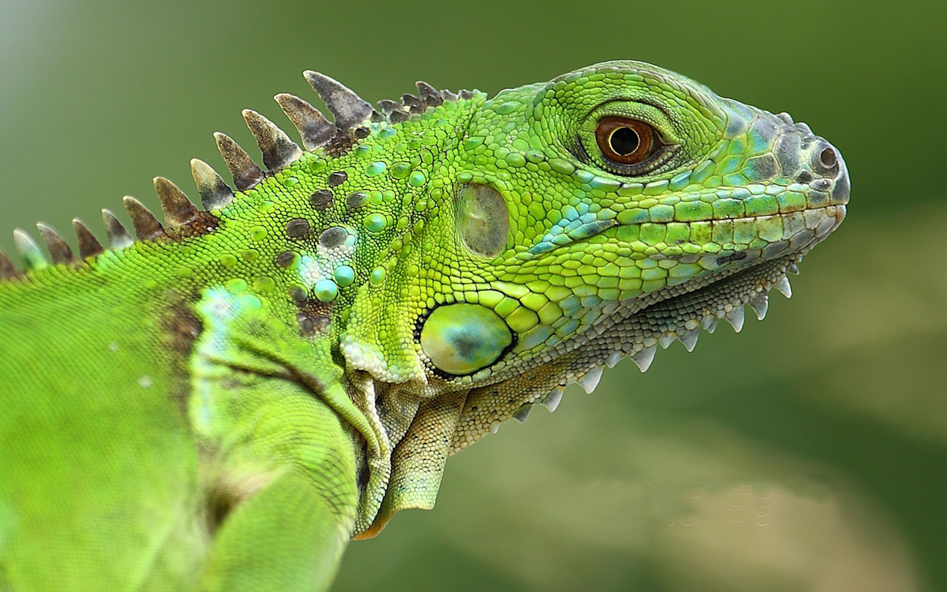 Cars Wallpaper With Names American Lizard Green Iguana Animals Of Group Reptiles