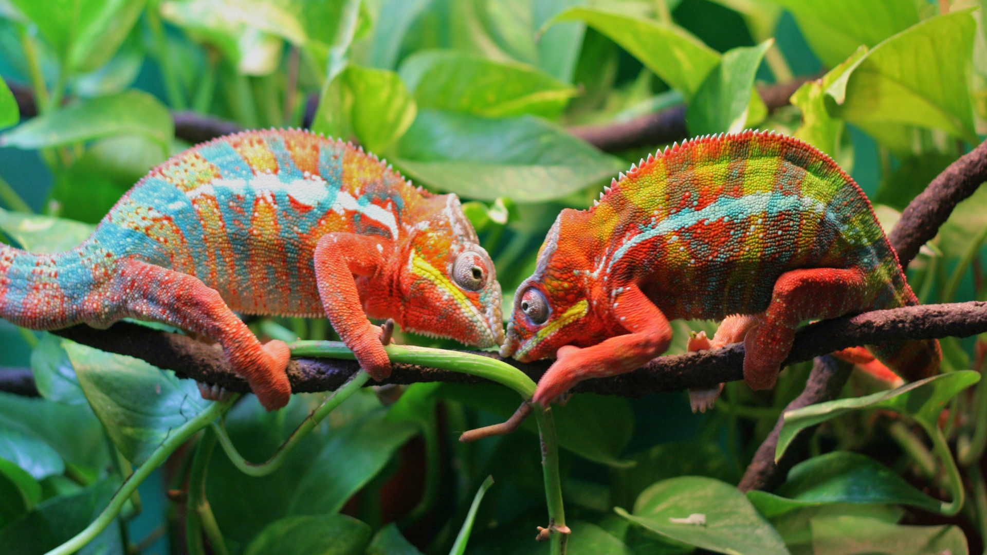 How To Make A Gif Your Wallpaper Iphone Chameleon Striped Lizard Camouflage By Changing The Color