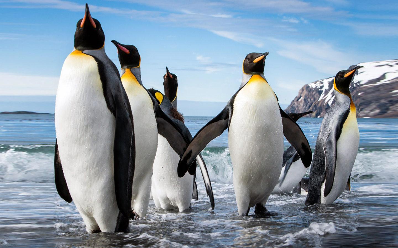 Iphone Wallpaper Fox Emperor Penguin Aptenodytes Forsteri Size Reaching 122 Cm