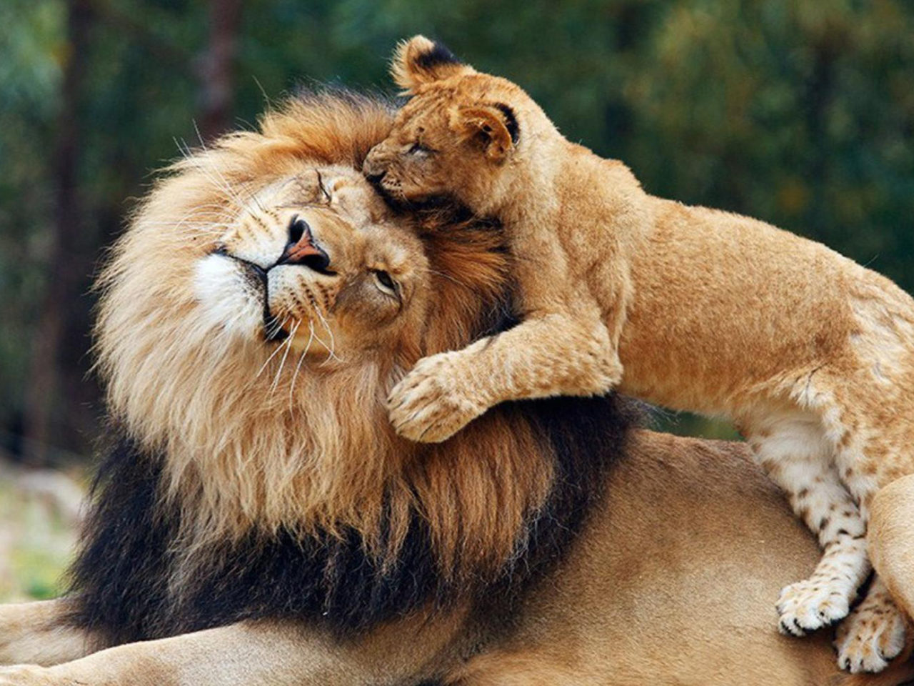 Red Wallpaper Hd Download Lions Game Between Parent And Cub Lion Wallpaper Hd