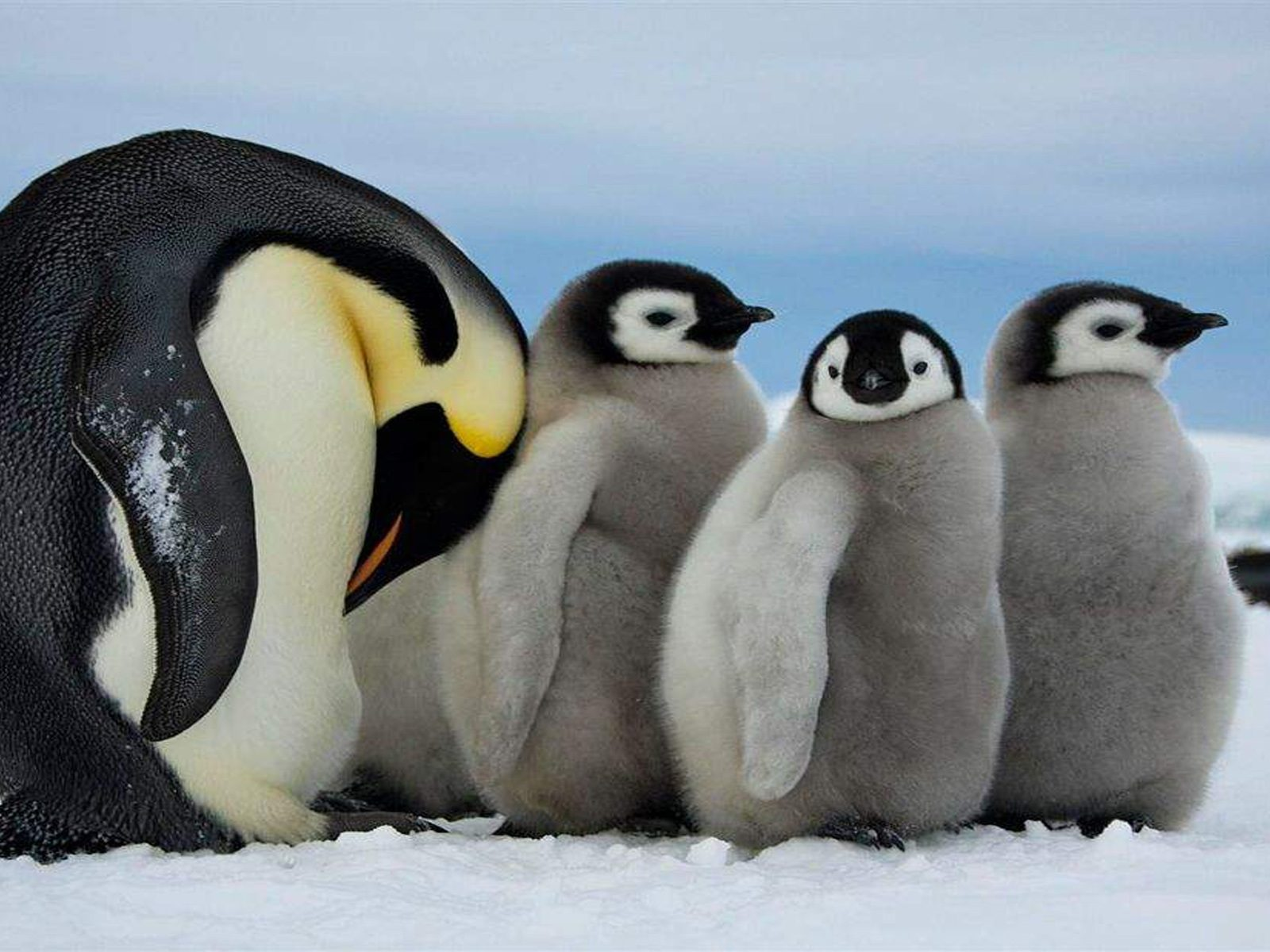 Cute Wallpapers Free Download Royal Penguin Mother And Three Cubs With Gray Fur Desktop